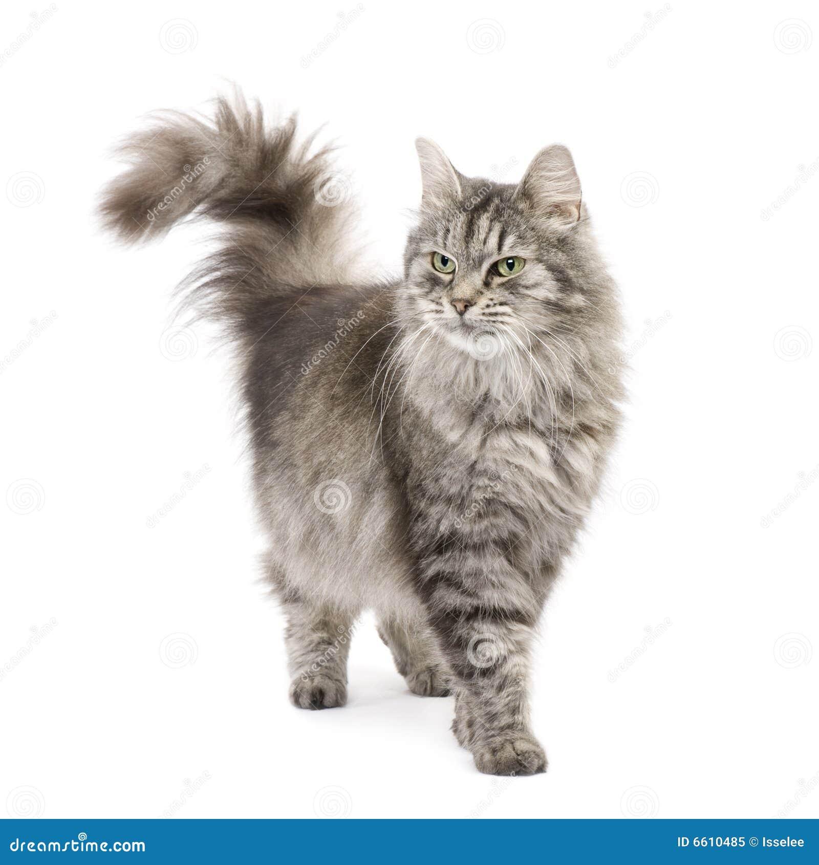 Gato Siberian do híbrido e gato persa