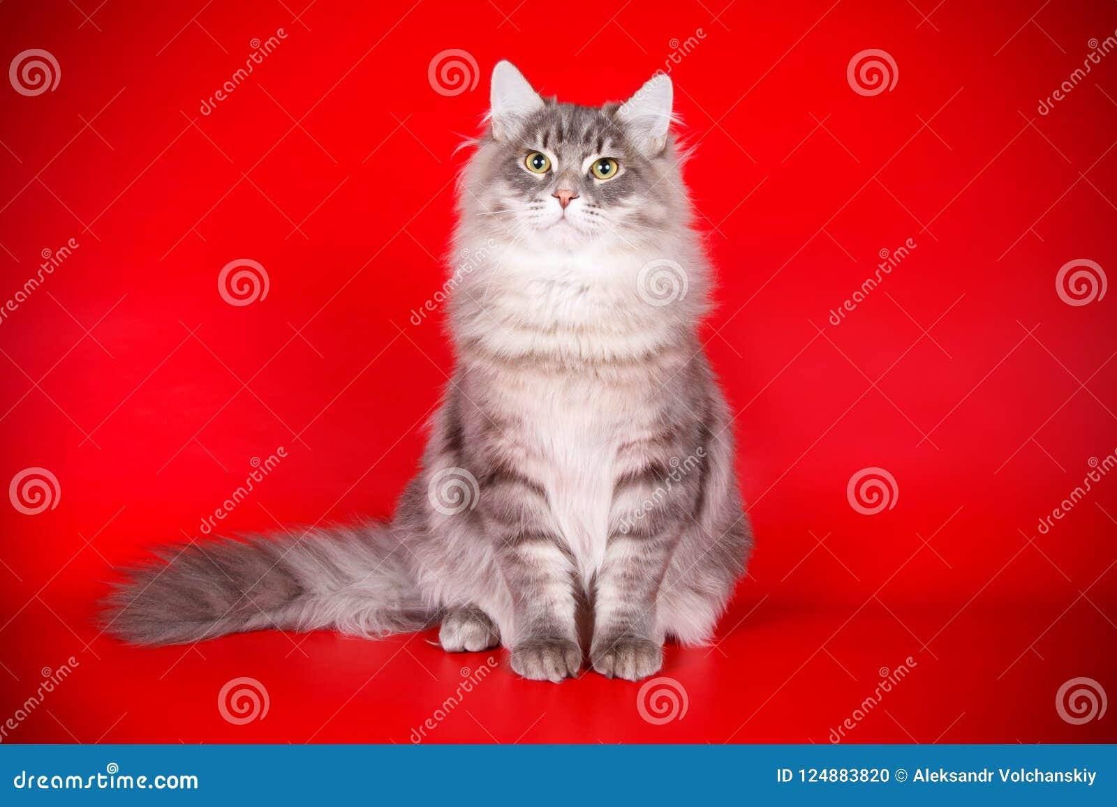 Gato Siberian em fundos coloridos