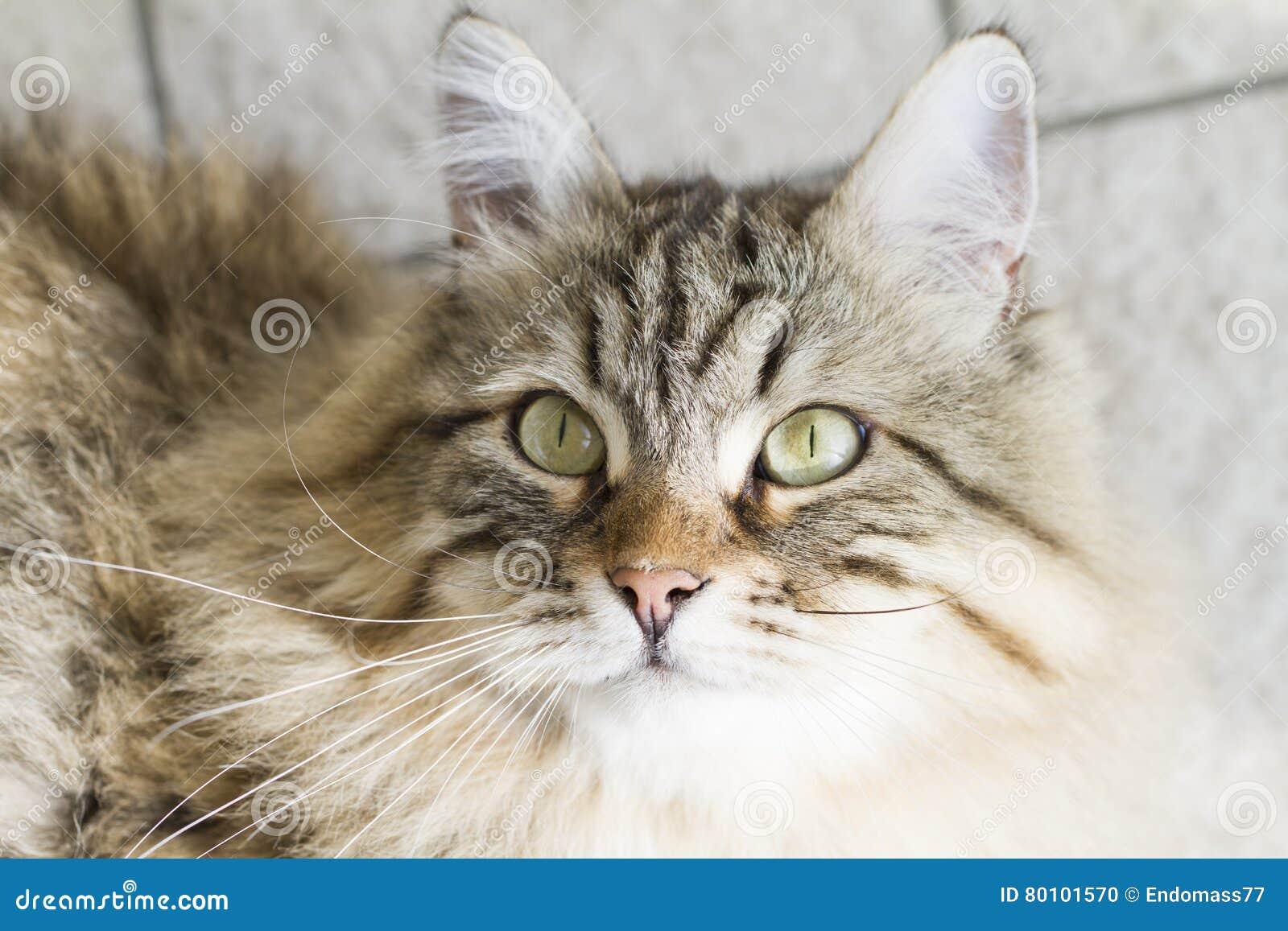 Gato siberian marrom adorável que olha acima