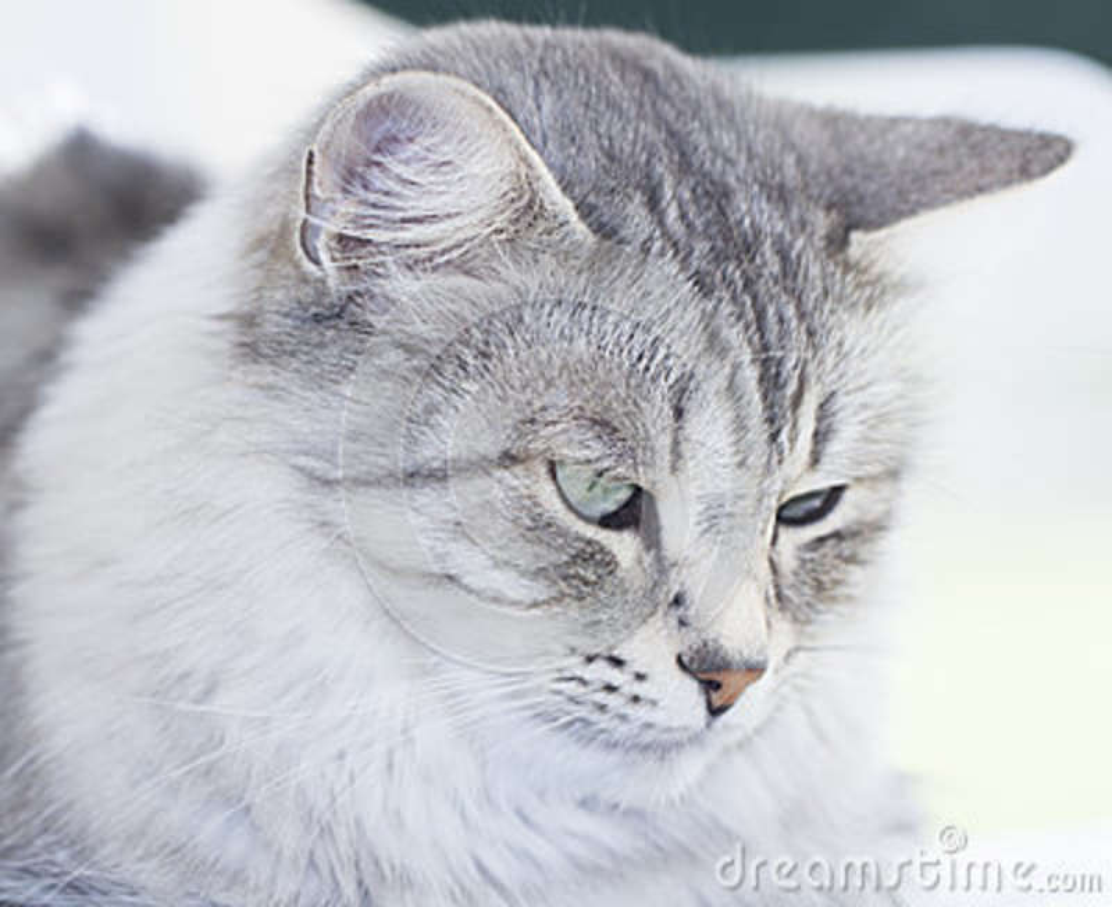 Gato siberiano de plata peludo en el jardín