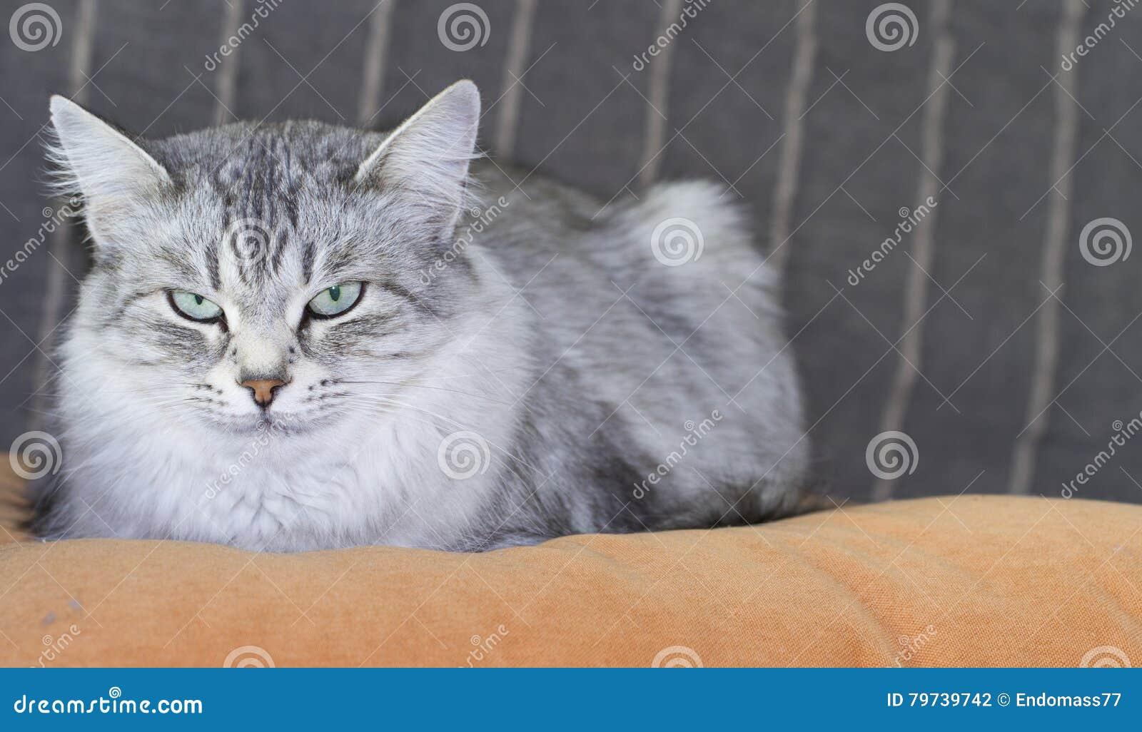 Gato siberiano de plata peludo en el sofá
