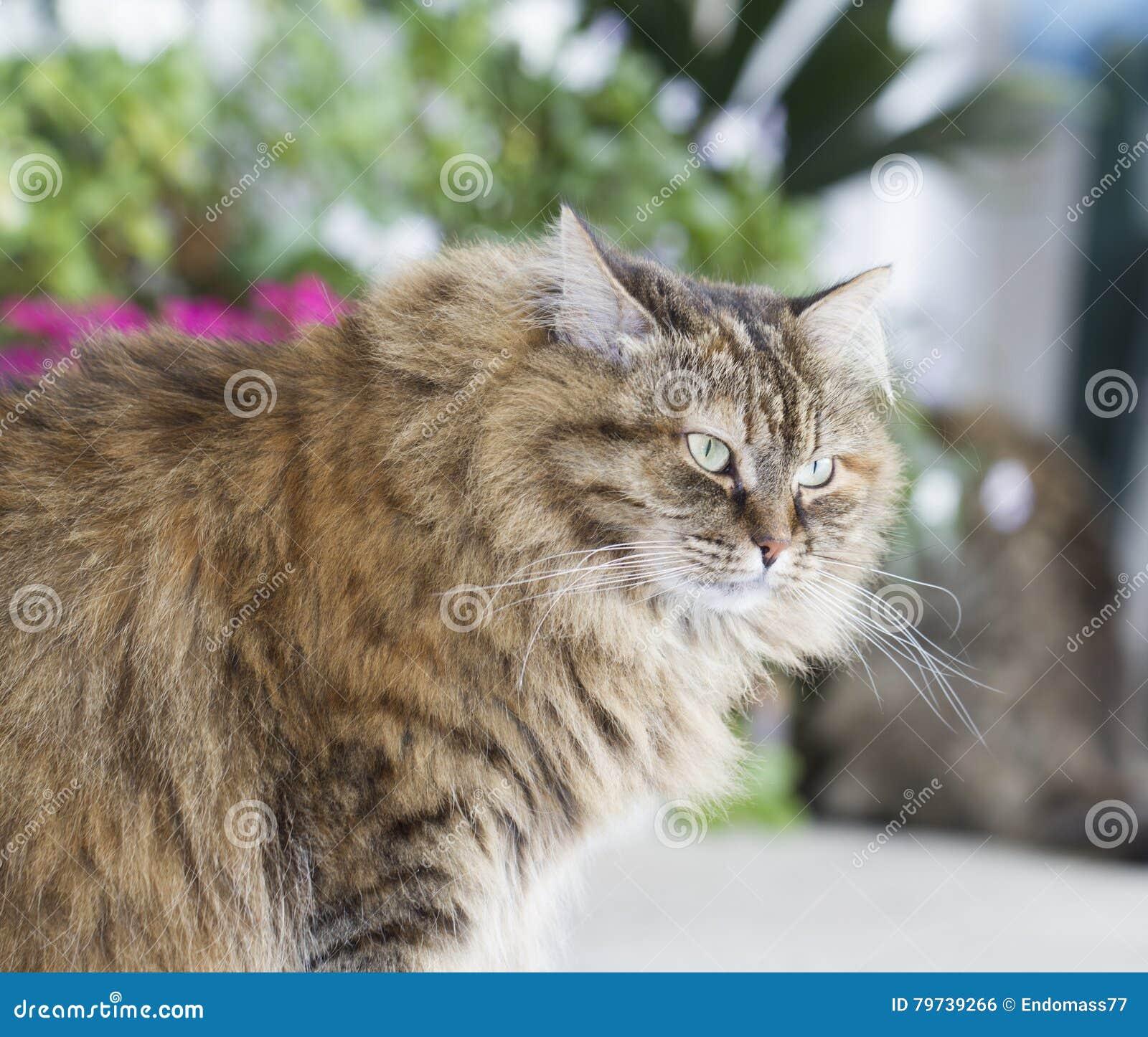Gato siberiano marrón peludo en el jardín