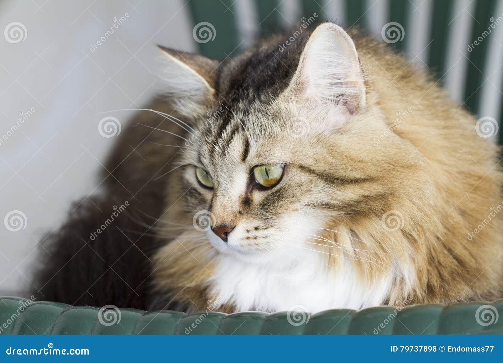 Gato siberiano marrón peludo en el jardín en la silla