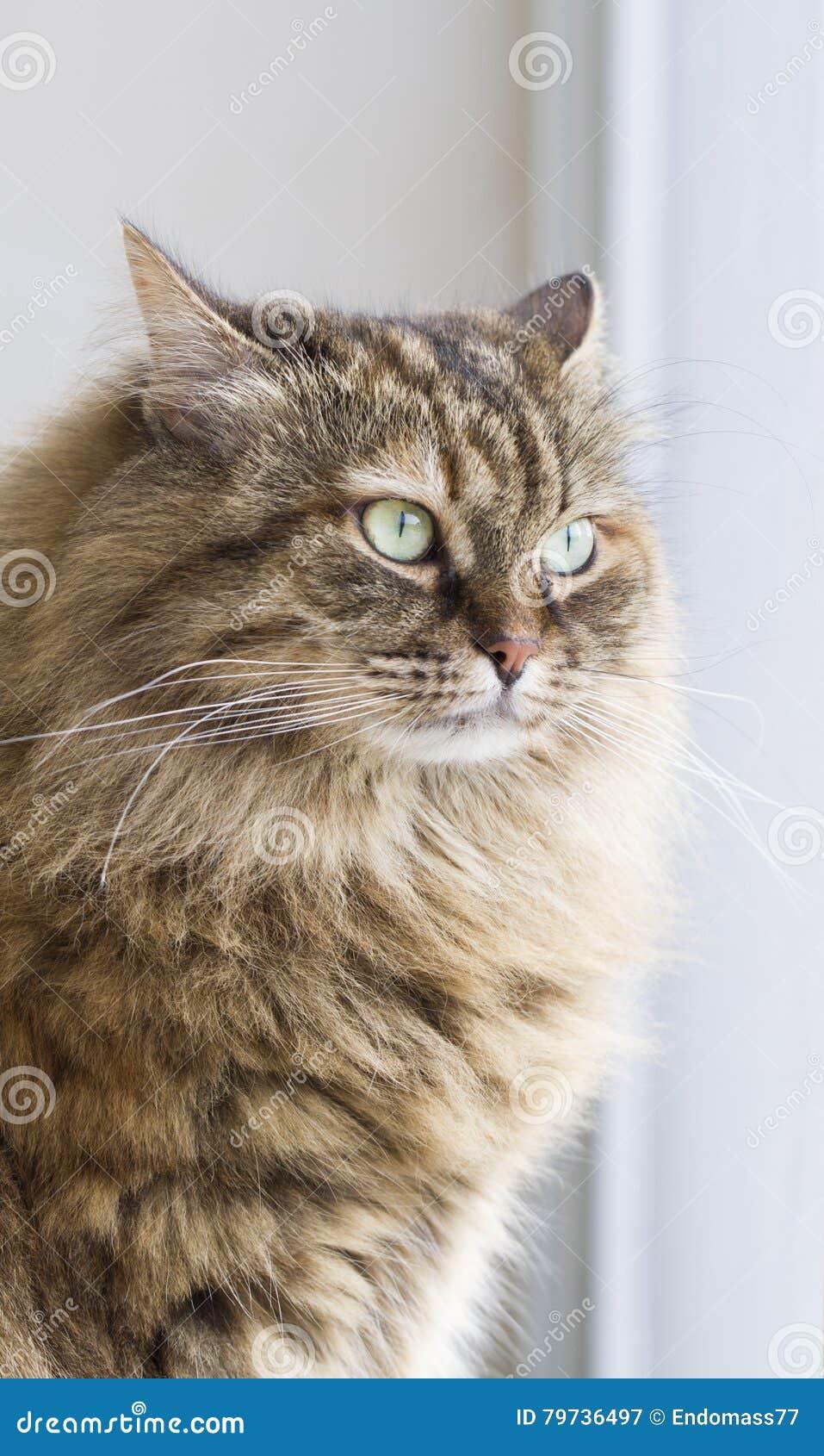 Gato siberiano marrón peludo en el jardín en la ventana