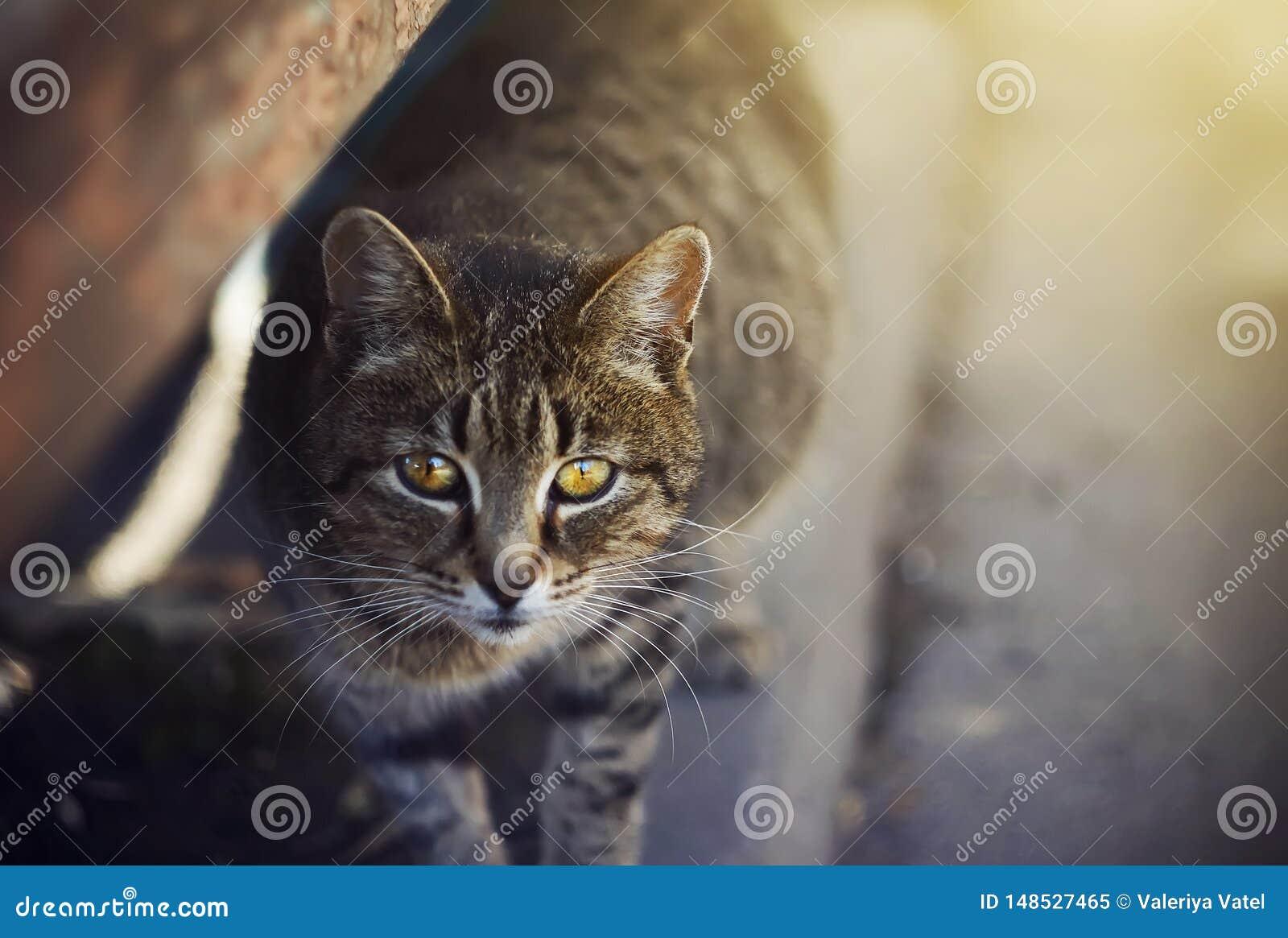Gato sin hogar lindo con los ojos amarillos que se colocan en el pavimento