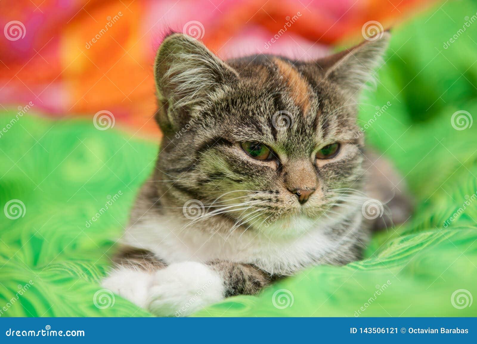 Gato soñoliento en la manta verde