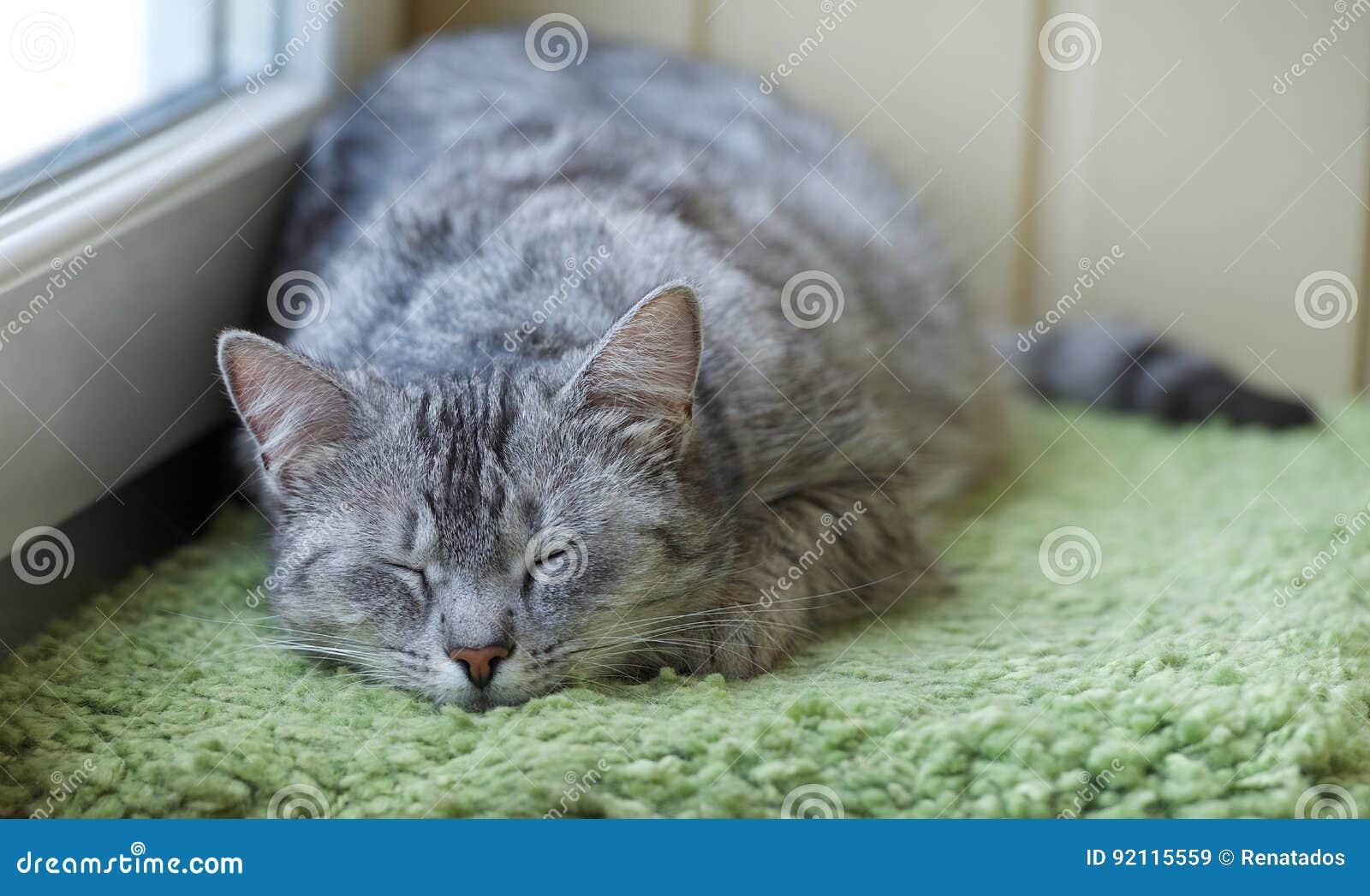 Gato soñoliento en un balcón Gato divertido en día de verano caliente, foto chistosa el dormir del gato el dormir Cat Resting