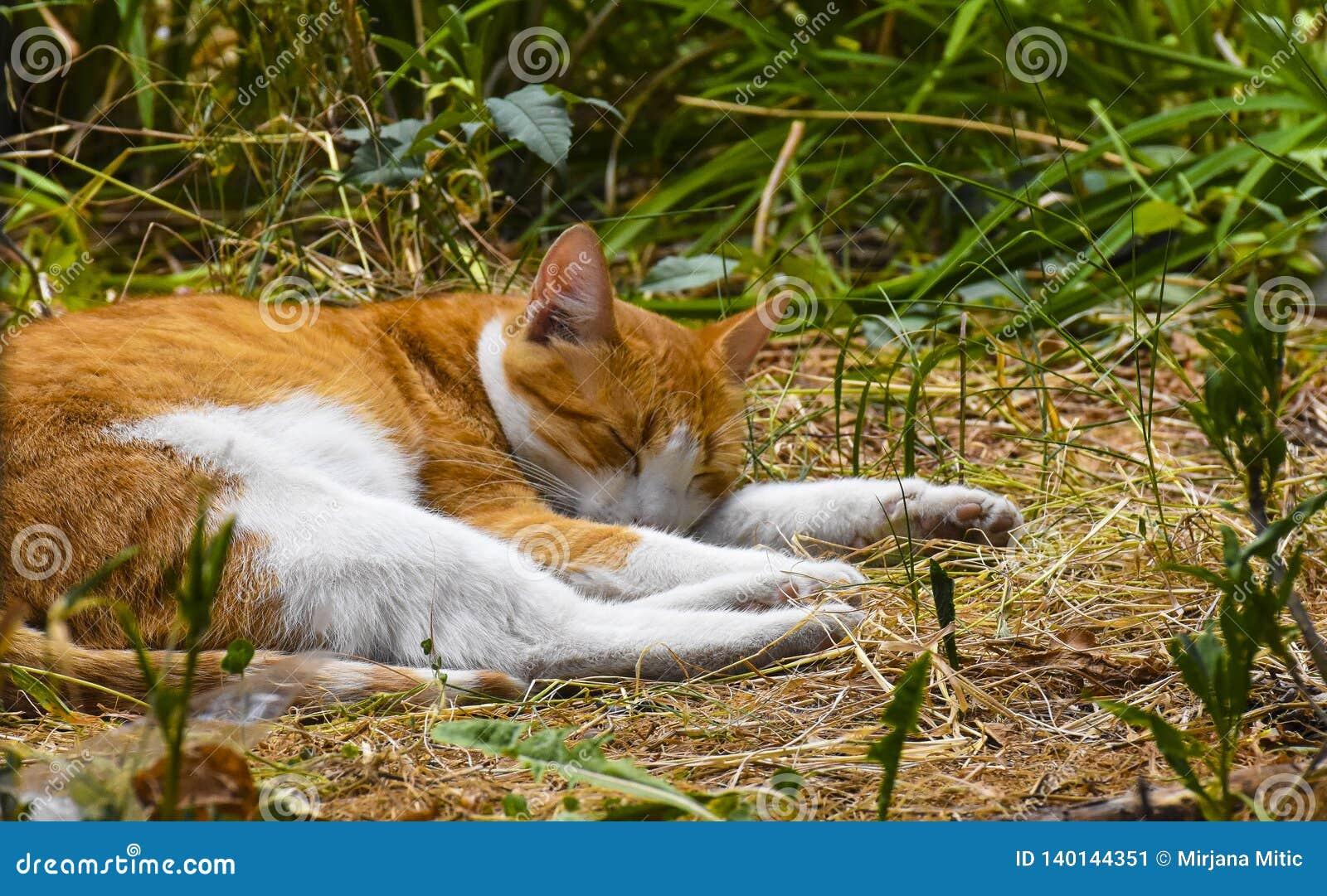 Gato sonolento no campo