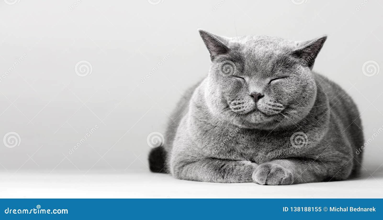 Gato sonriente soñoliento que pone en el piso