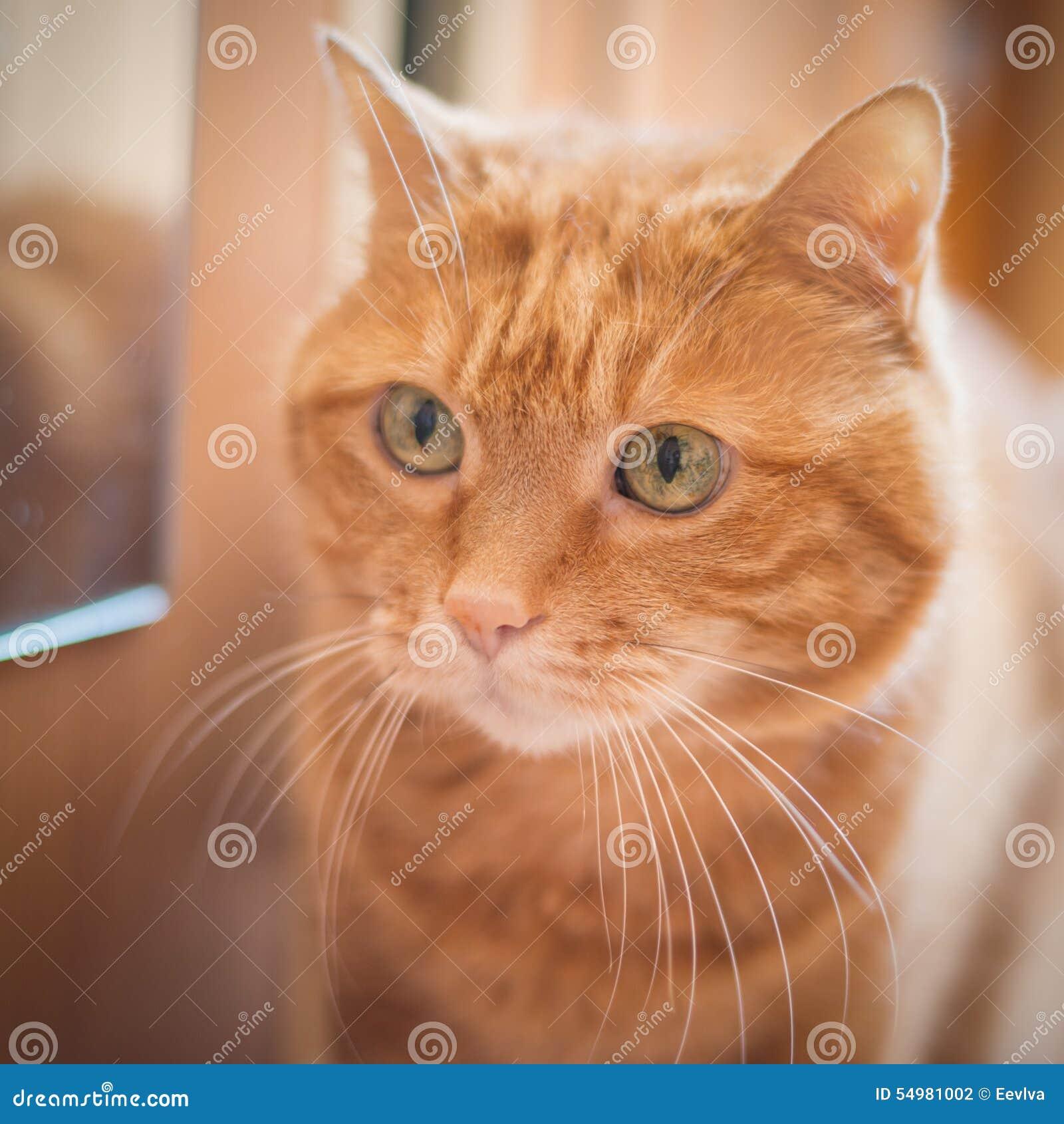 Gato vermelho bonito