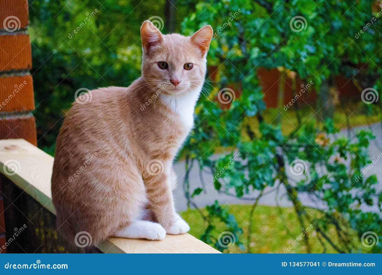 Gato vermelho fotogênico com os olhos ambarinos da cor Nica, Letónia