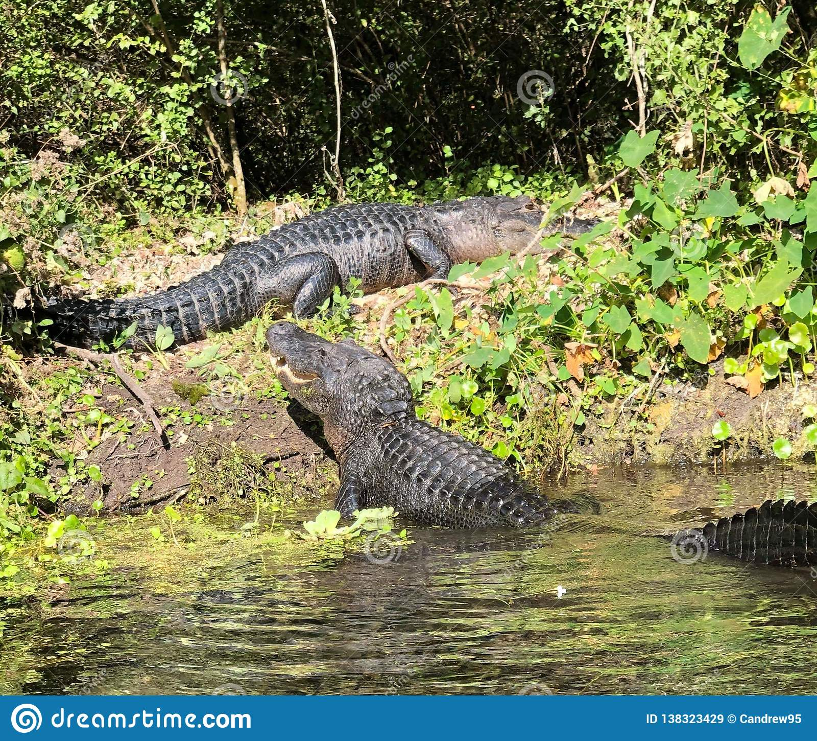 Gator show down