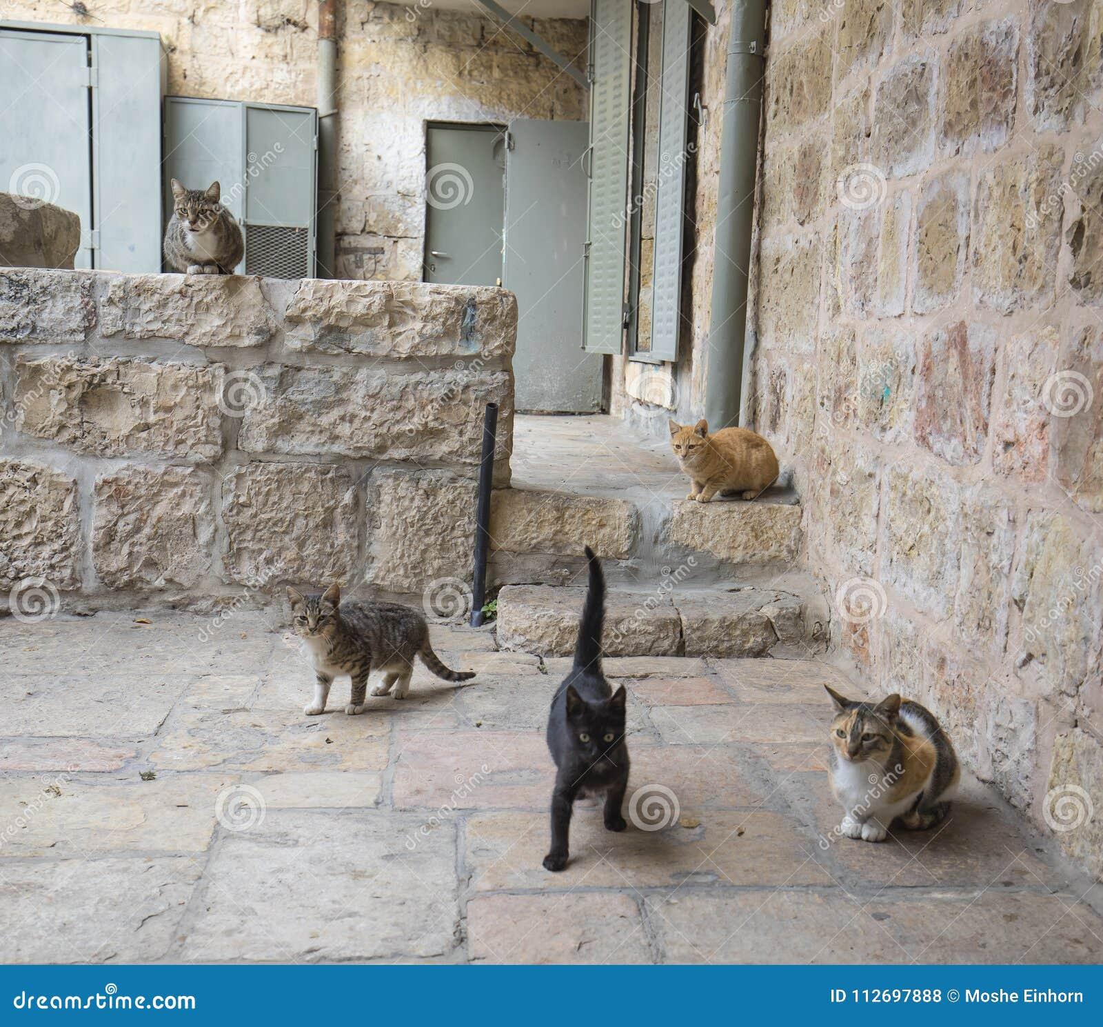 Gatos de aleia do Jerusalém