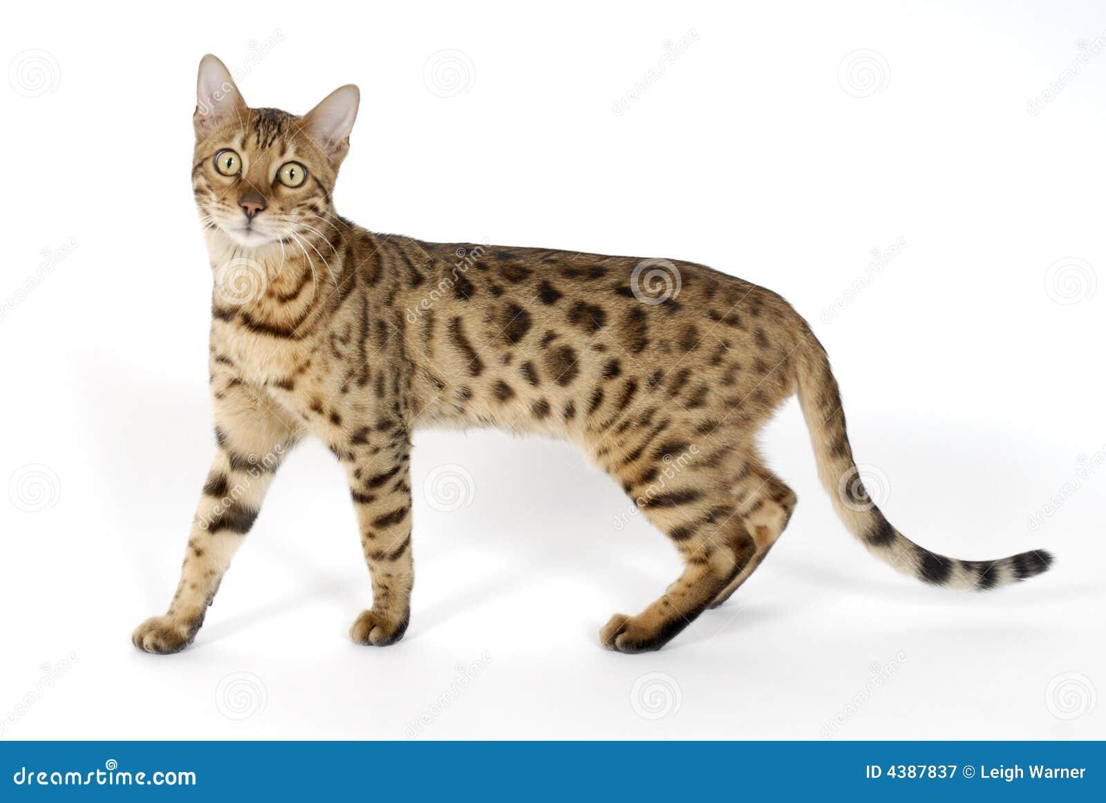 Gatos de Bengala , tigres Fotografía de archivo libre de regalías