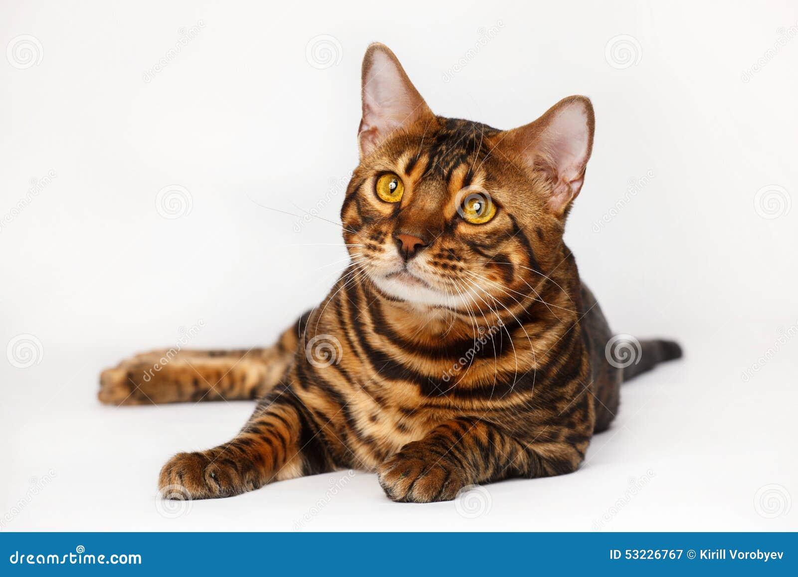 Gatos de Bengala - tigres