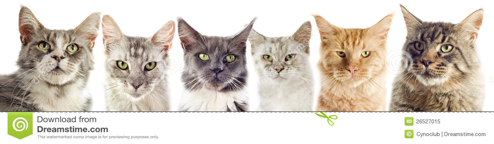 Gatos de coon de Maine
