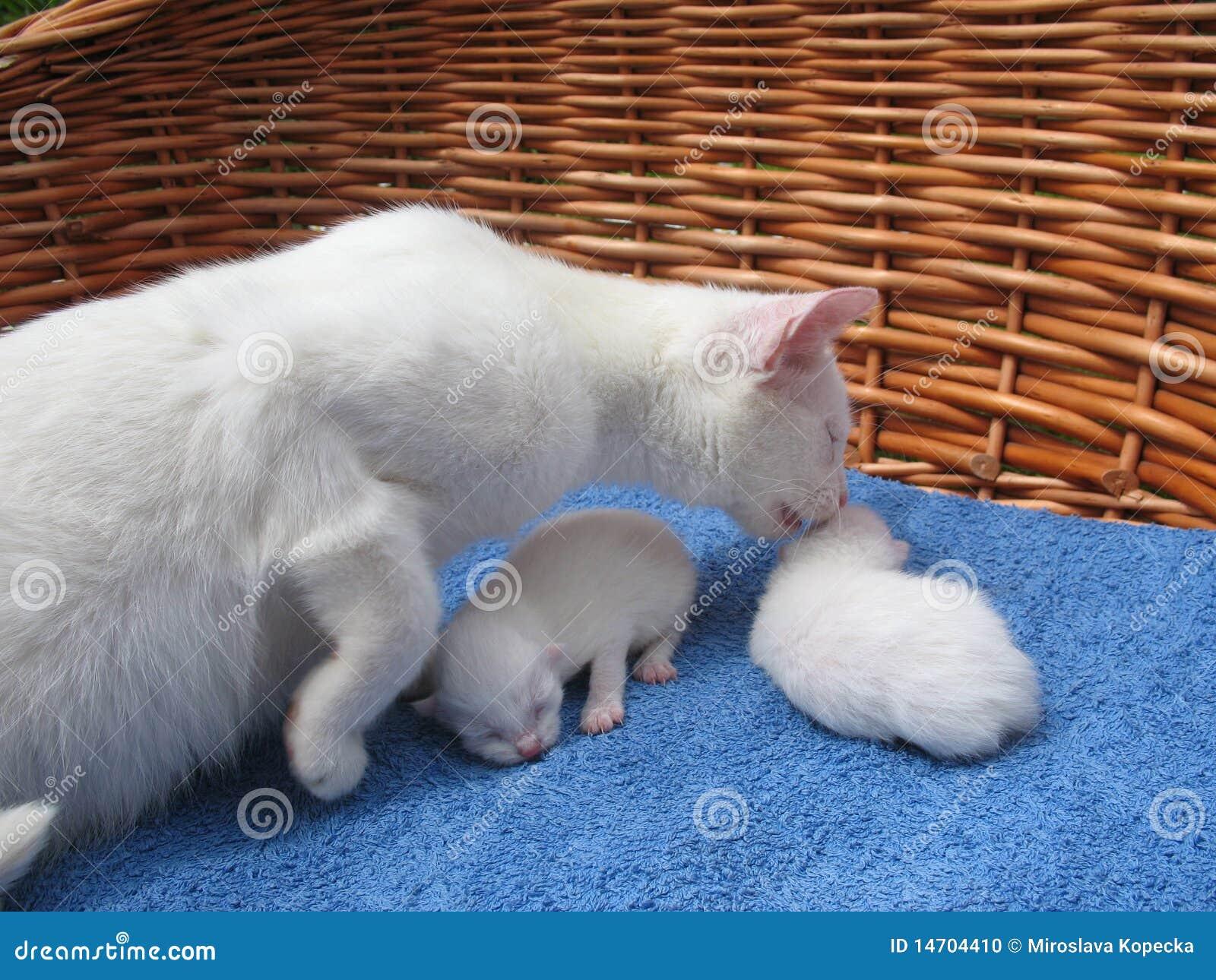 Gatos del albino
