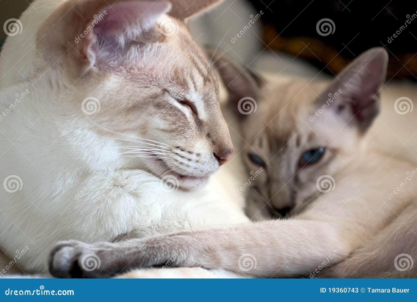 Gatos Siamese