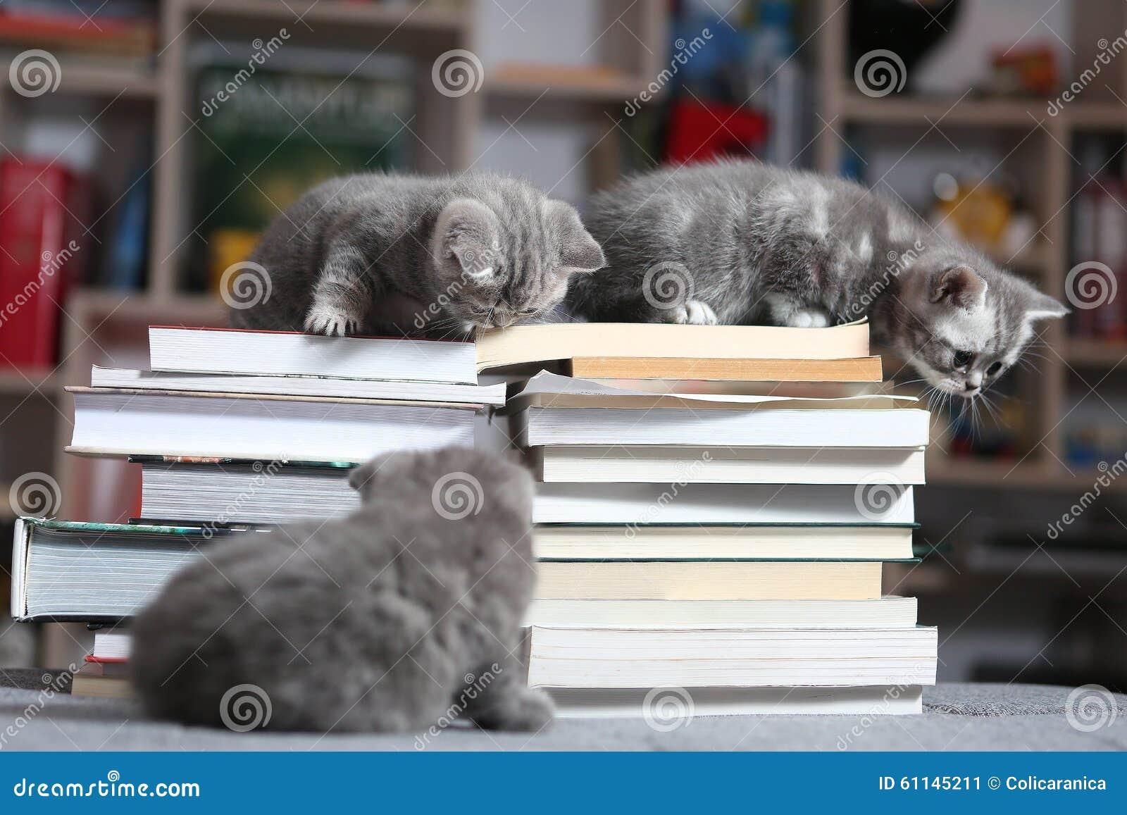 Gattini e libri di Britannici Shorthair