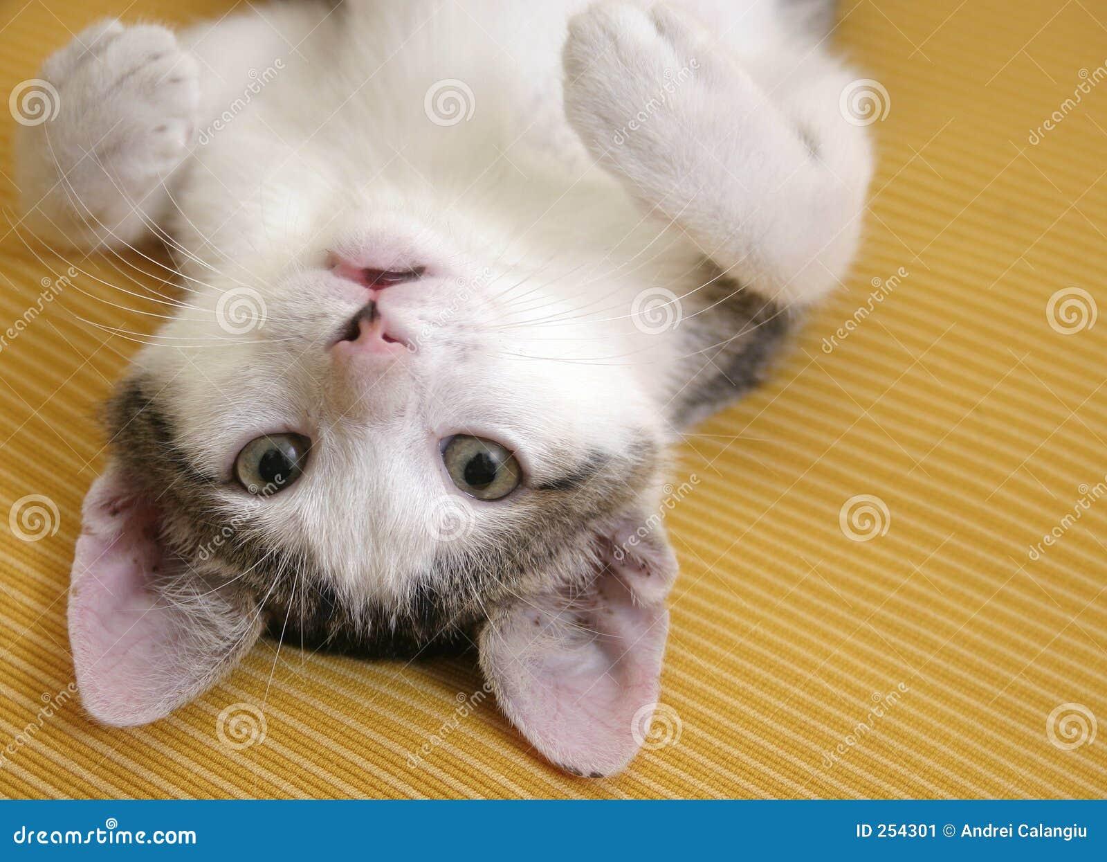 Gattino allegro