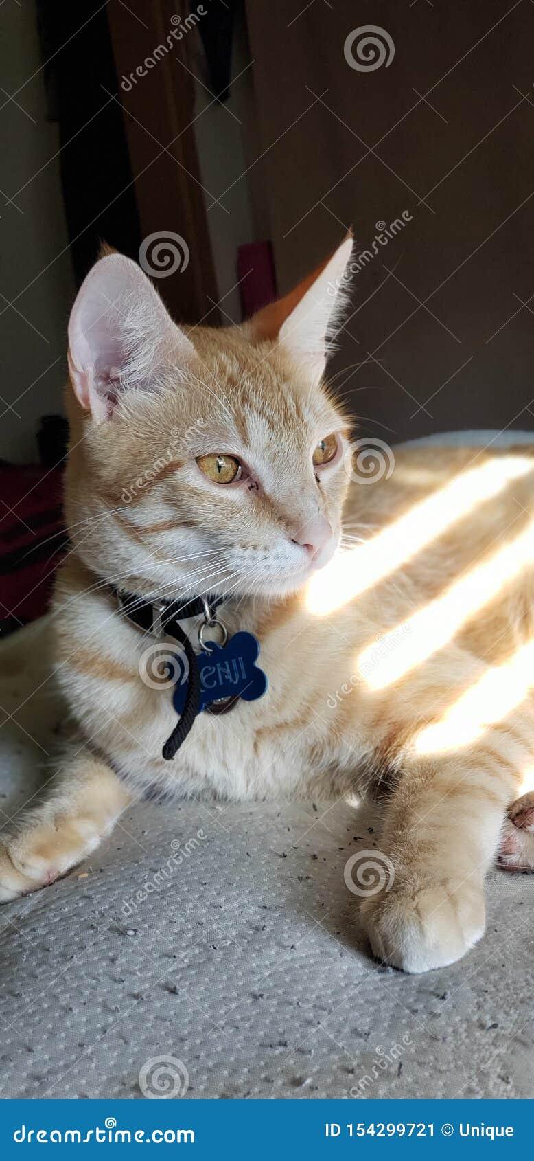 Gattino arancio