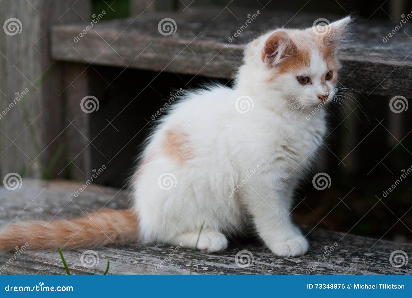 Gattino bianco & arancio sveglio