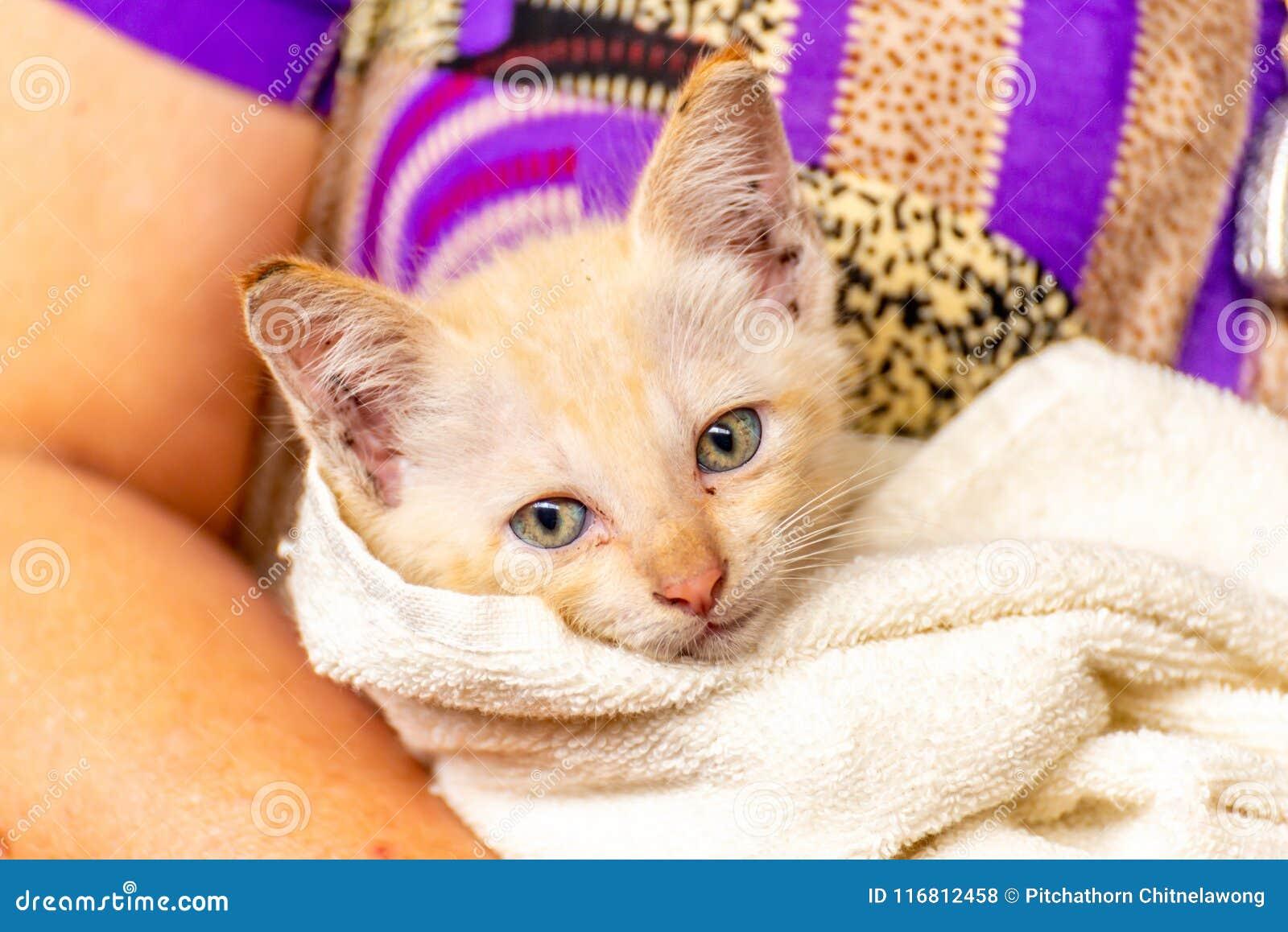 Gattino bianco giallo