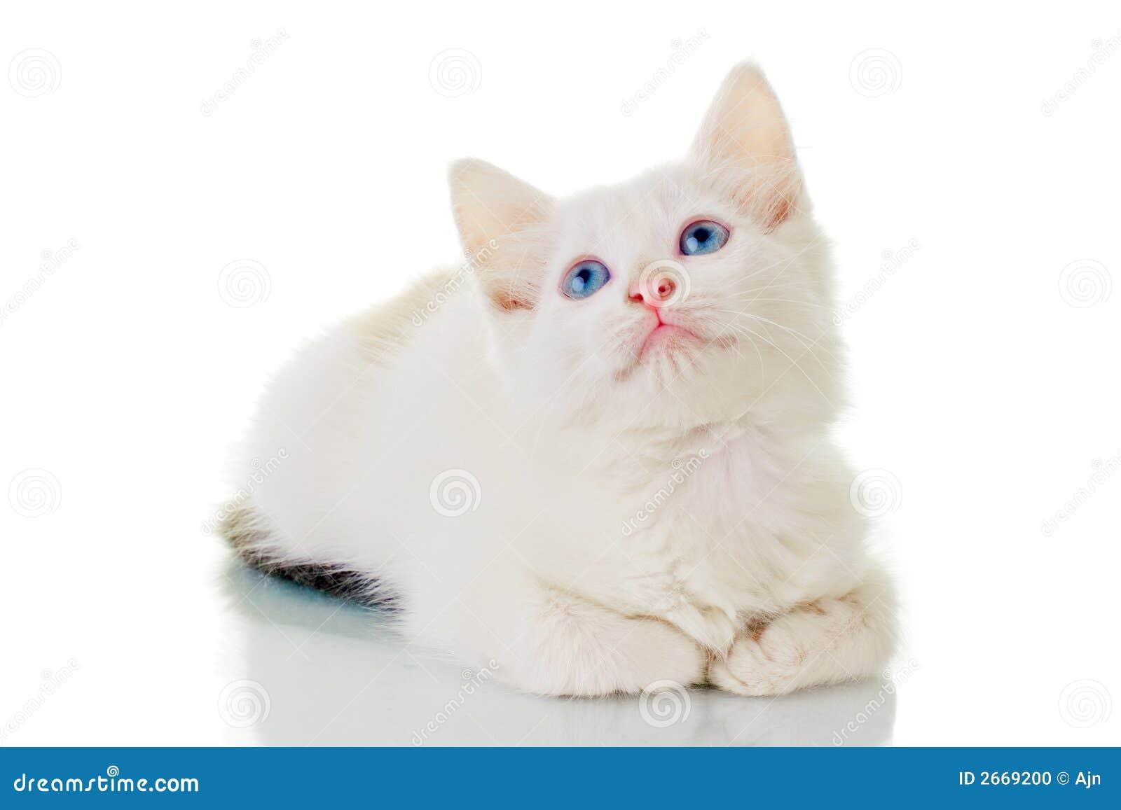 Gattino bianco sveglio