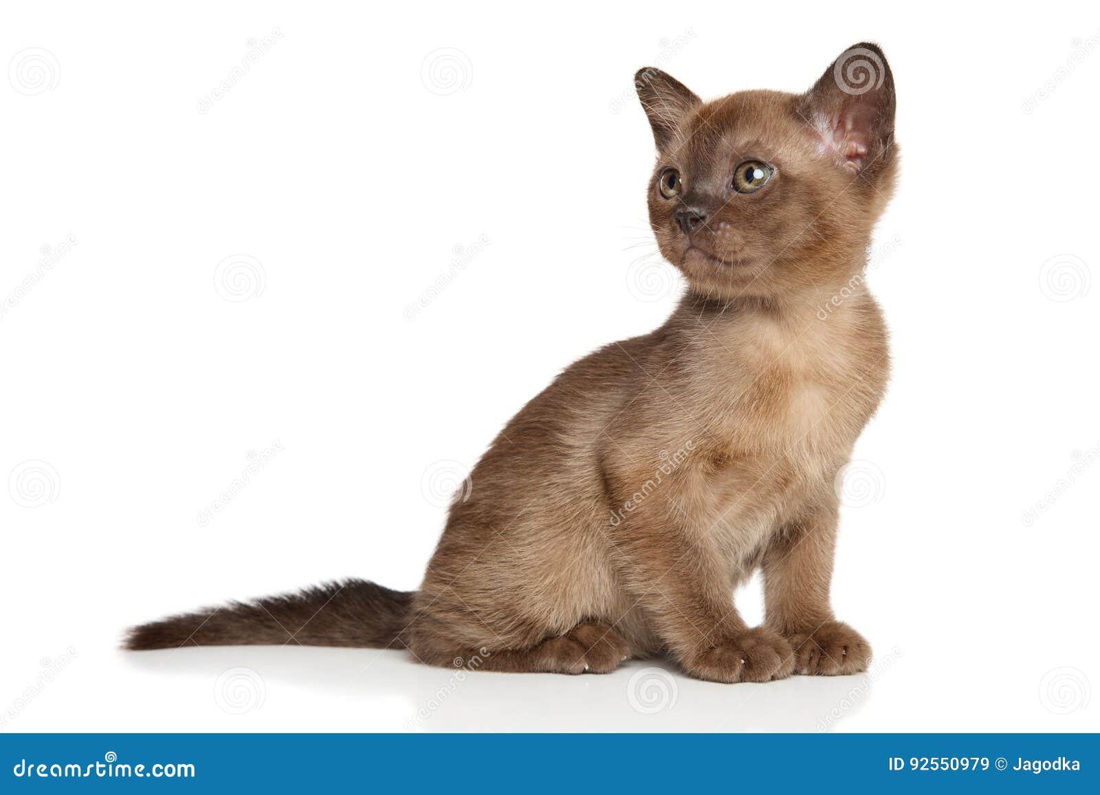 Gattino birmano della Birmania