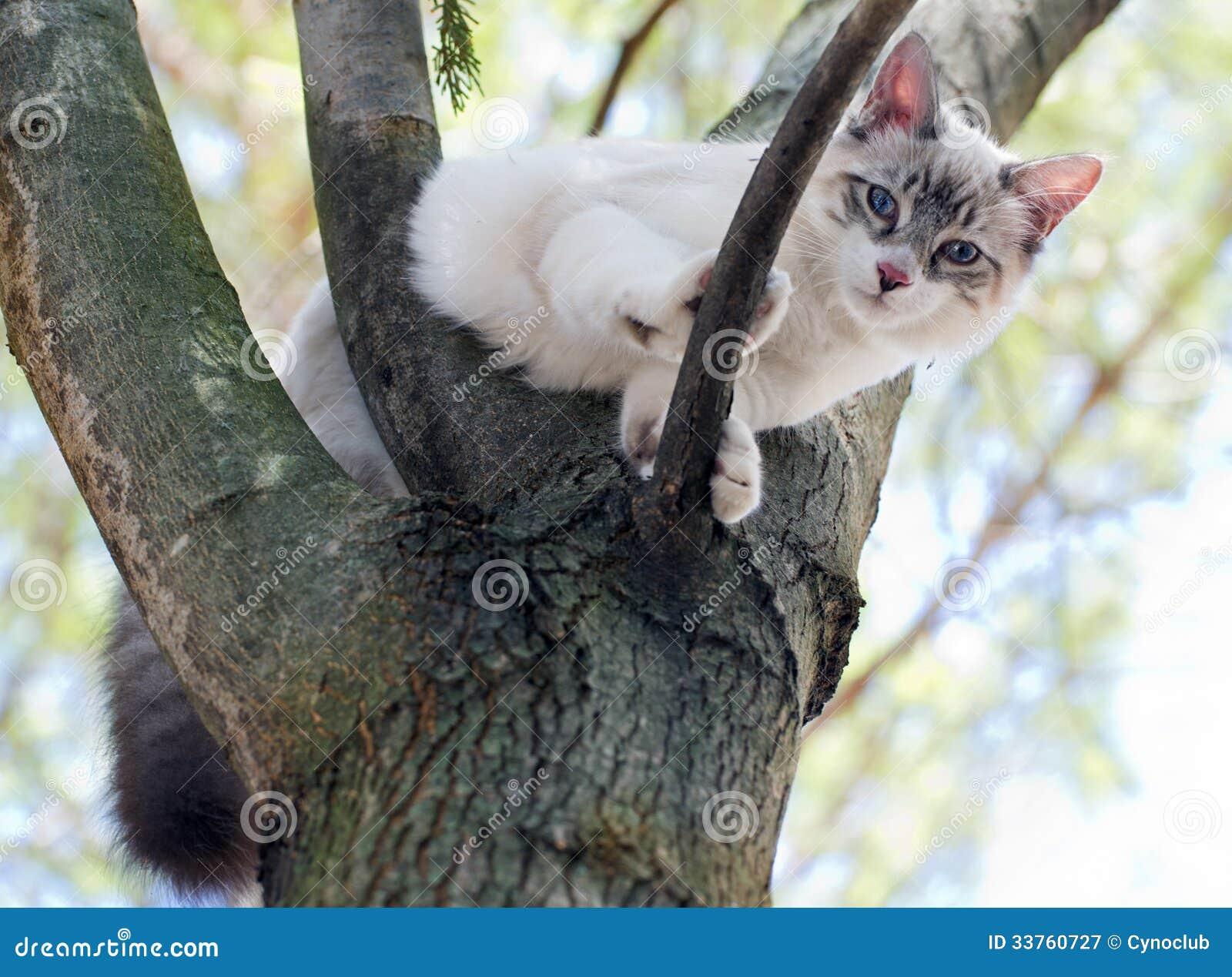 Gattino di birmano