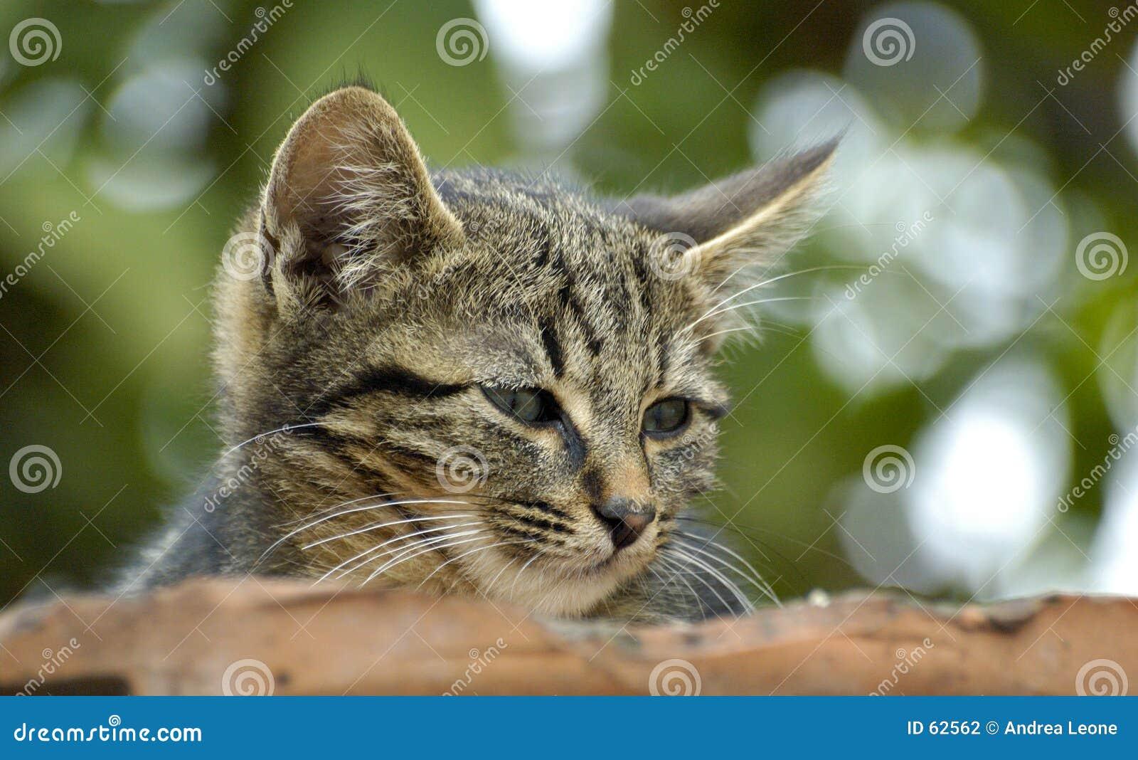 Gattino di Cuten