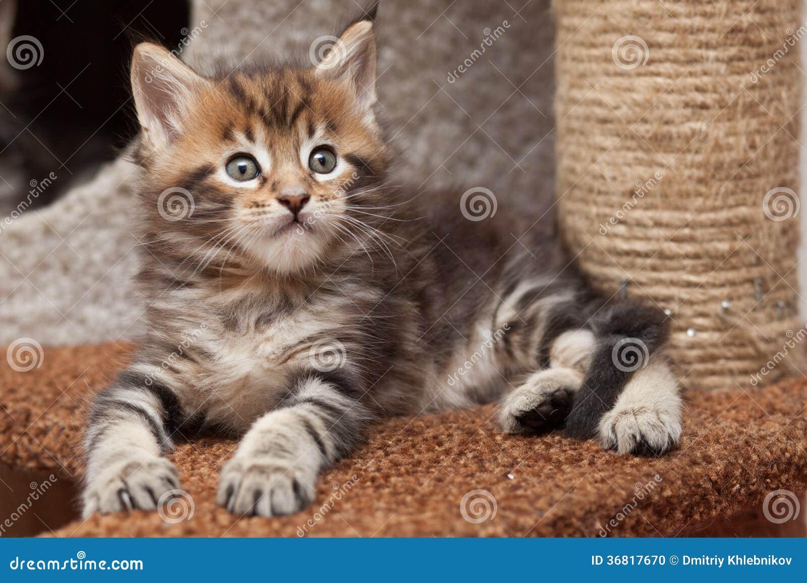 Gattino di Maine Coon