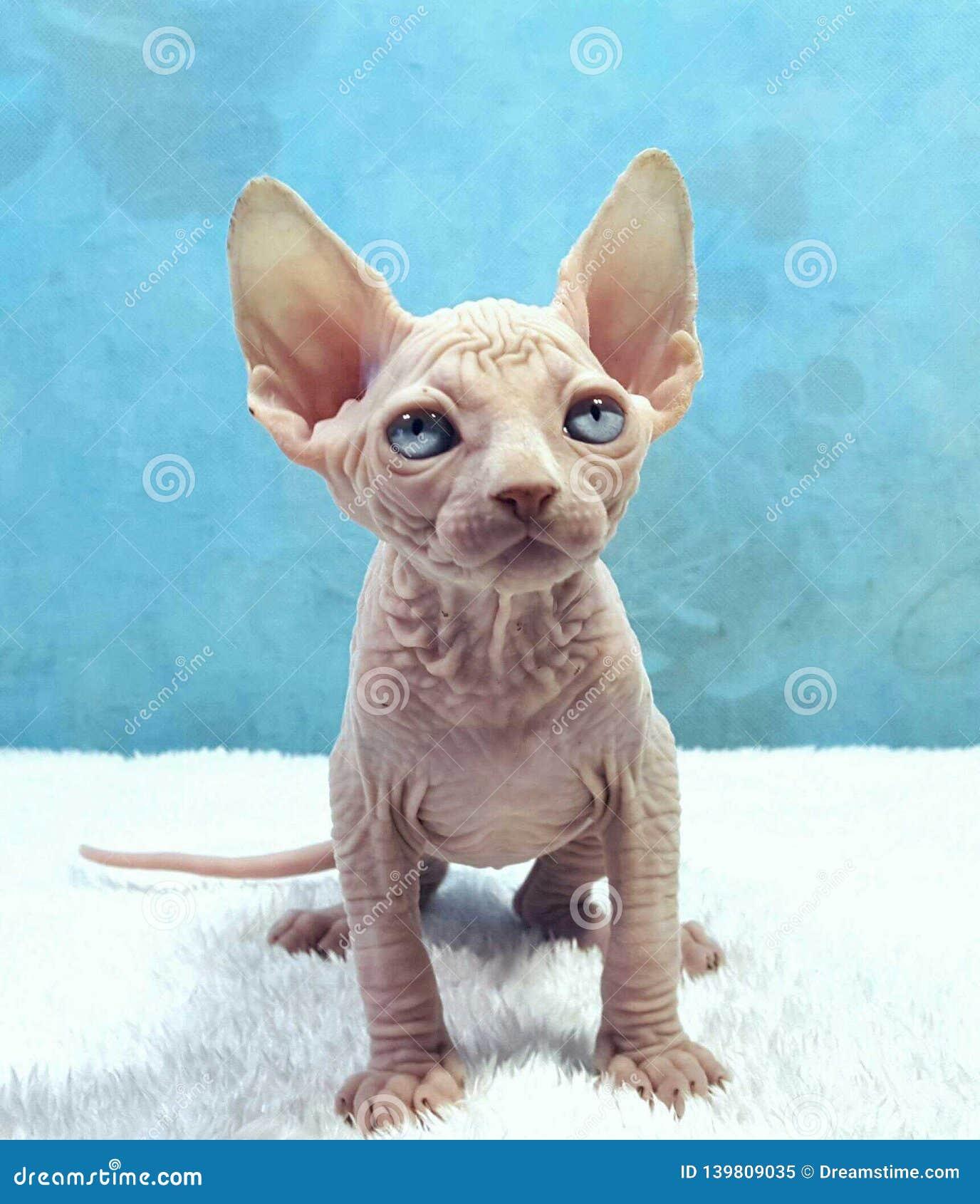 Gattino favorito della Sfinge