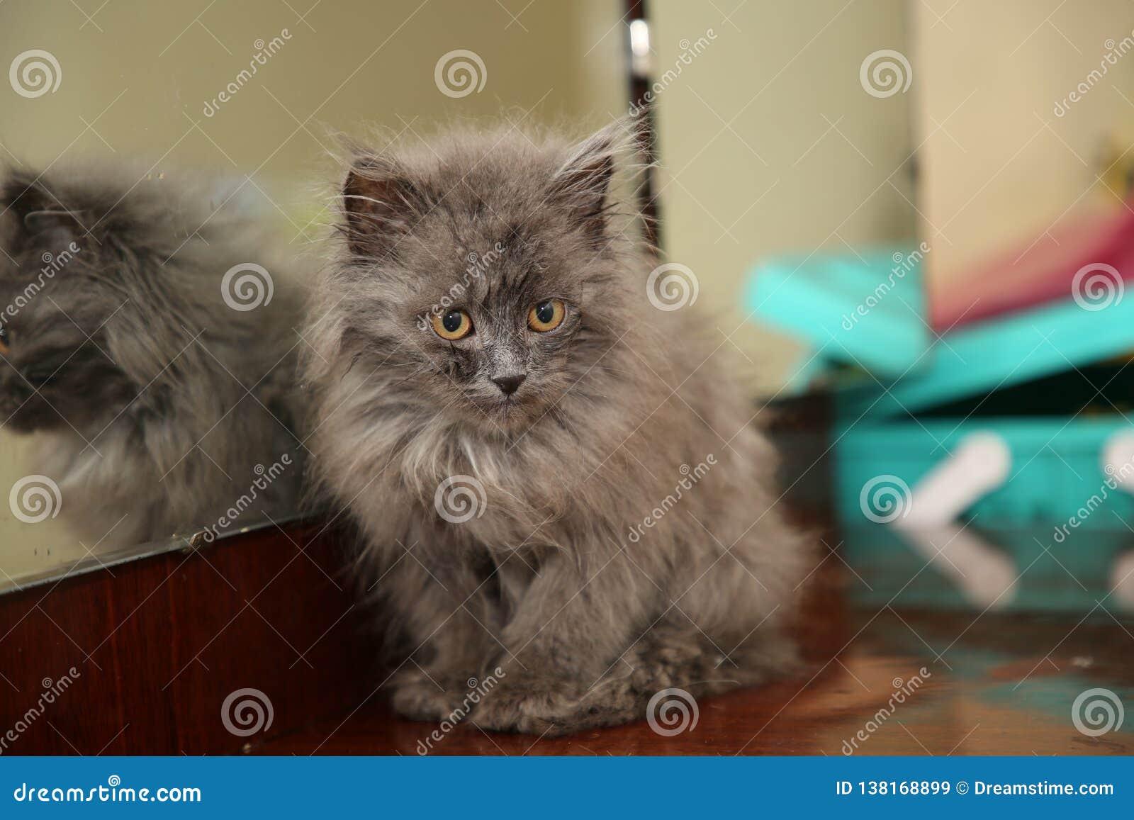 Gattino longhair siberiano blu che si siede vicino allo specchio