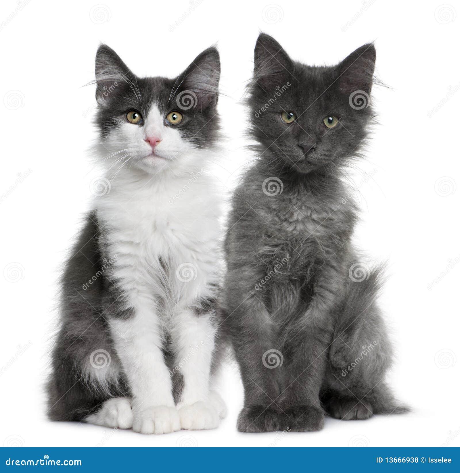 Gattino norvegese del gatto della foresta due 4 mesi for Gatto della foresta norvegese