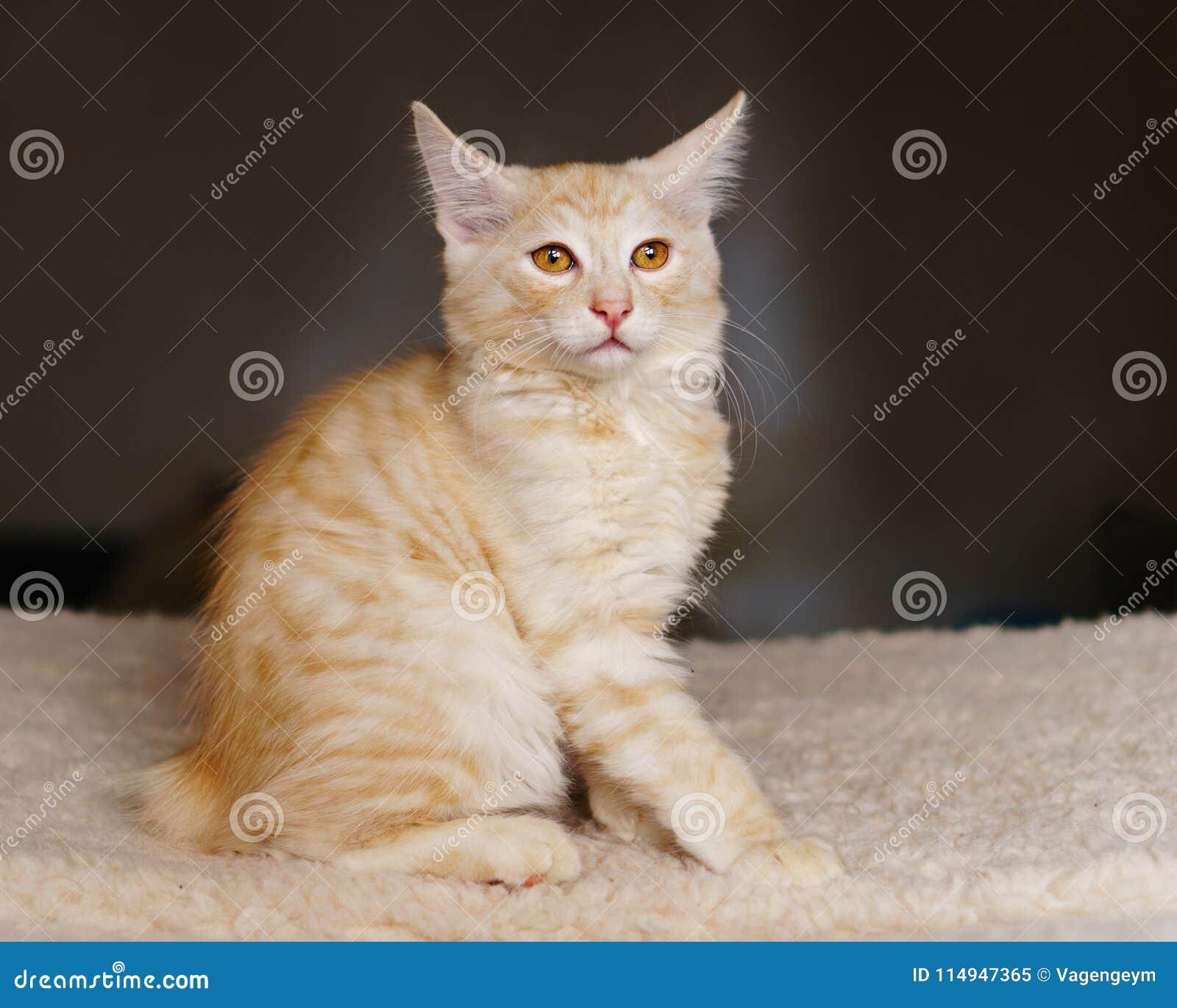 Gattino rosso adorabile del purosangue