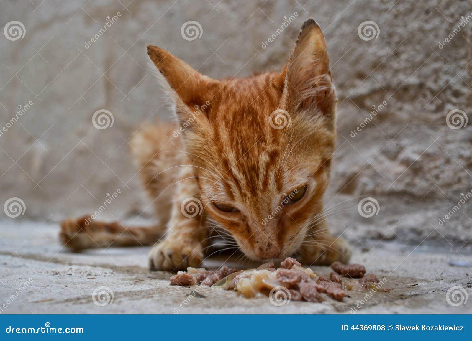 Gattino senza alimenti dello zenzero smarrito che mangia cibo per gatti bagnato