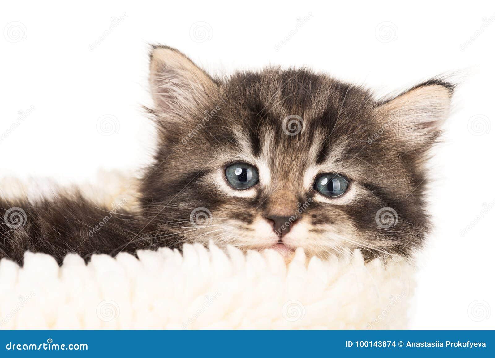 Gattino siberiano sveglio