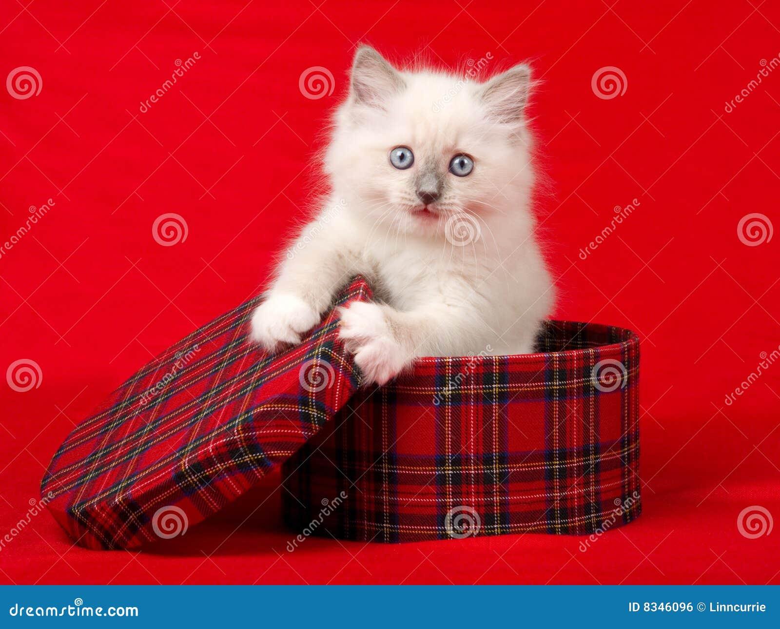 Gattino sveglio di Ragdoll in contenitore di regalo del tartan