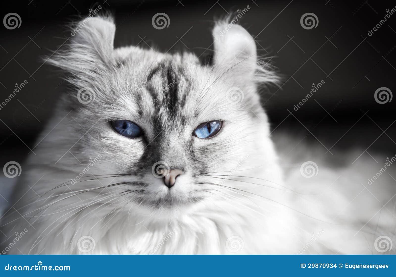 Gatto americano bianco del ricciolo con gli occhi azzurri for Disegni del mazzo del secondo piano