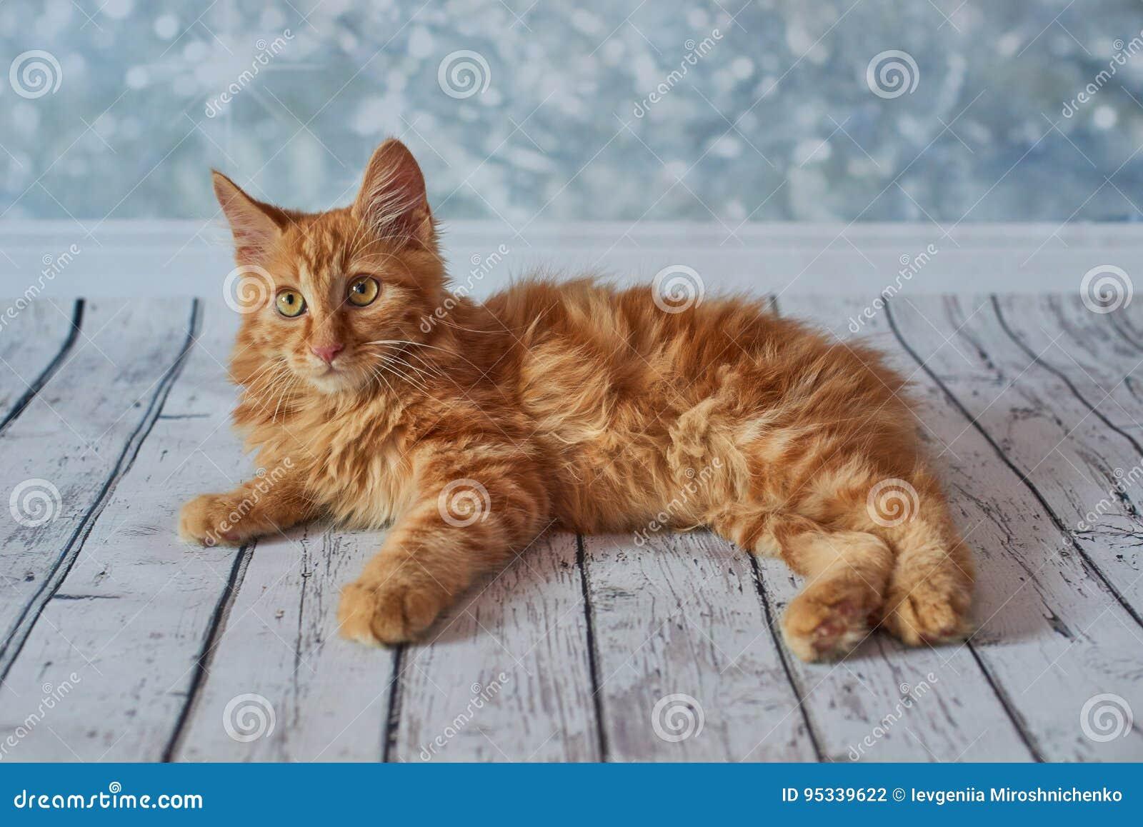 Gatto Americano Del Bobtail Fotografia Stock Immagine Di Purebred