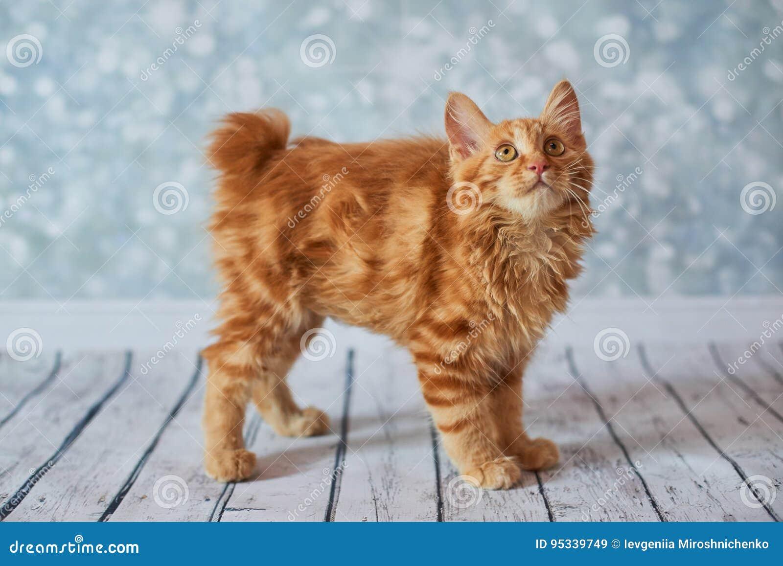 Gatto Americano Del Bobtail Immagine Stock Immagine Di Cute Furry
