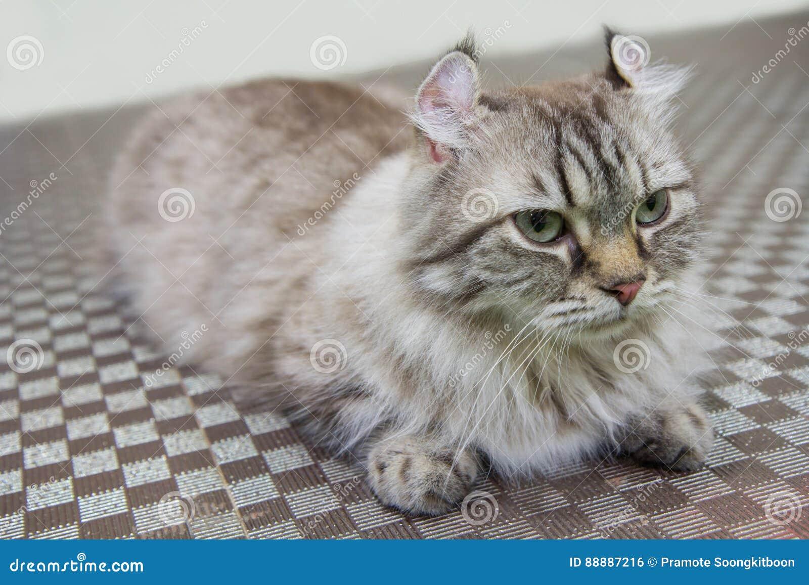 Gatto Americano Dellarricciatura Fotografia Stock Immagine Di