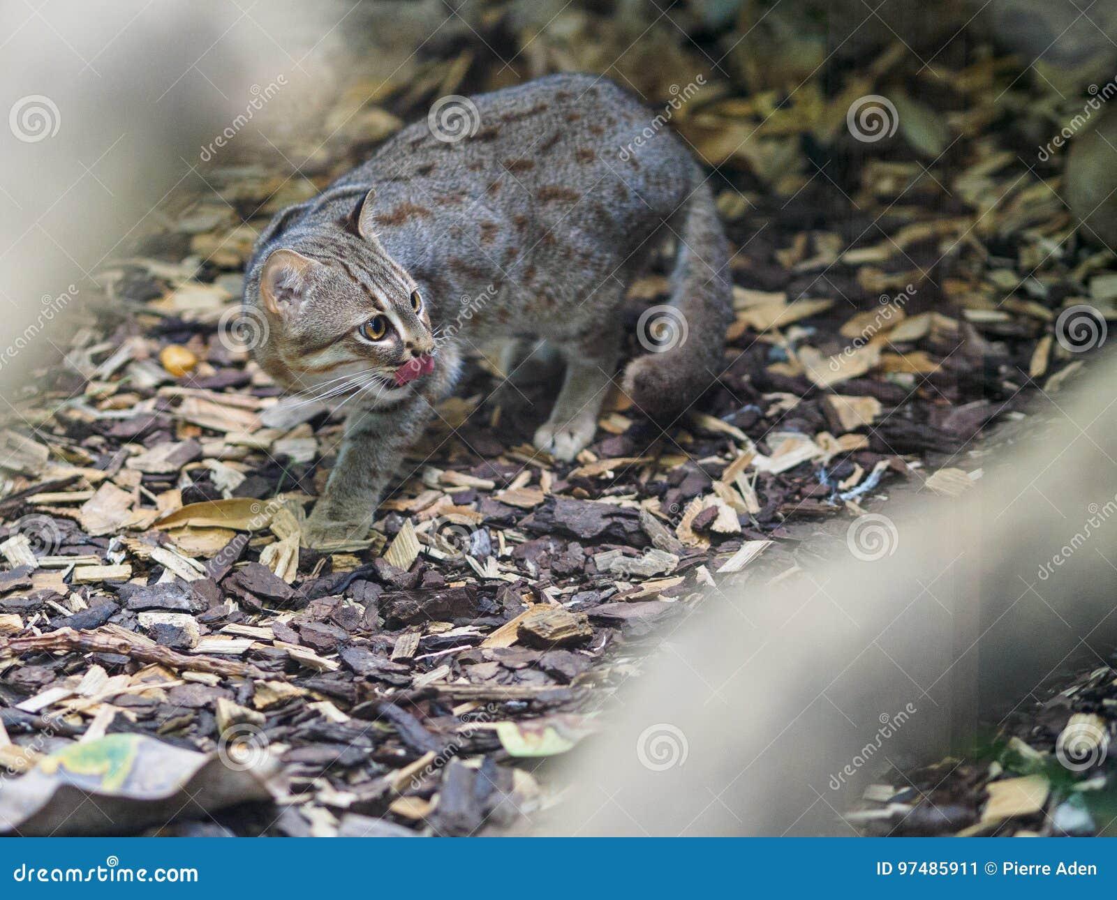Gatto arrugginito in zoo