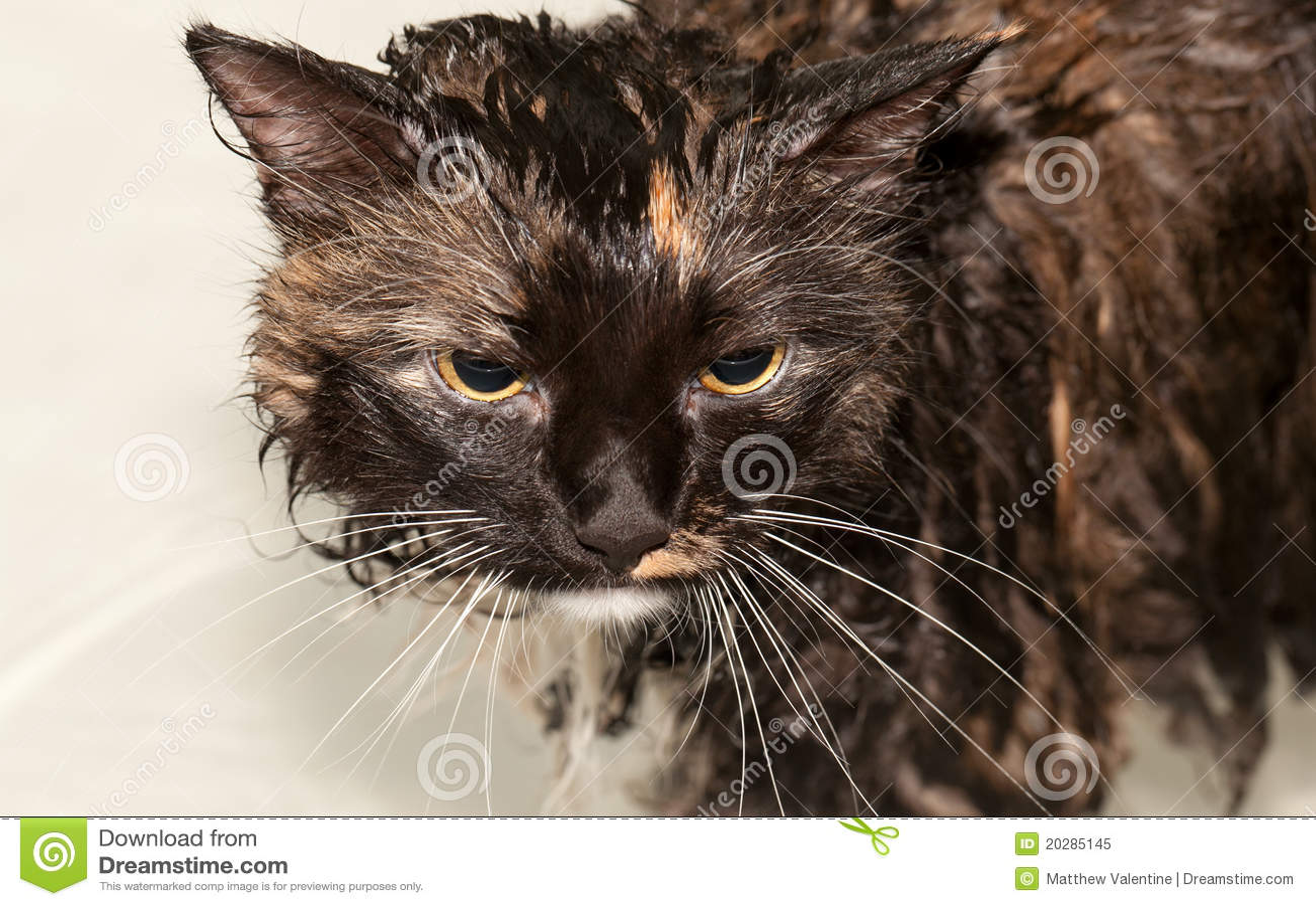 Gatto bagnato in vasca da bagno fotografia stock libera da diritti immagine 20285145 - Sesso in vasca da bagno ...
