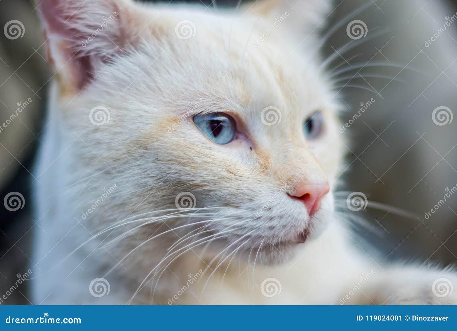 Gatto Bianco Con Gli Occhi Azzurri Immagine Stock Immagine Di