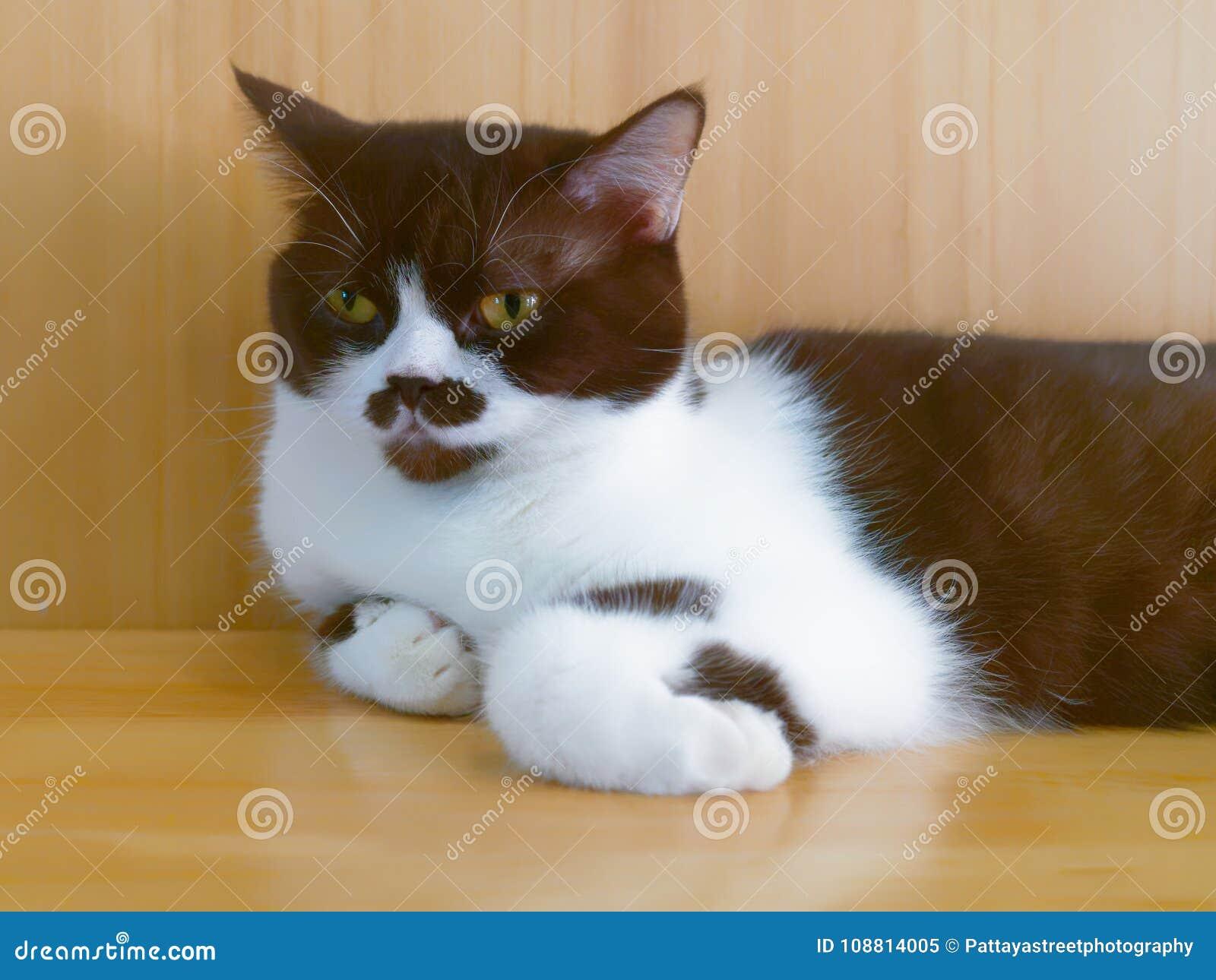 Gatto Bianco E Marrone Con La Marcatura Sul Naso E Bocca Che Riposa