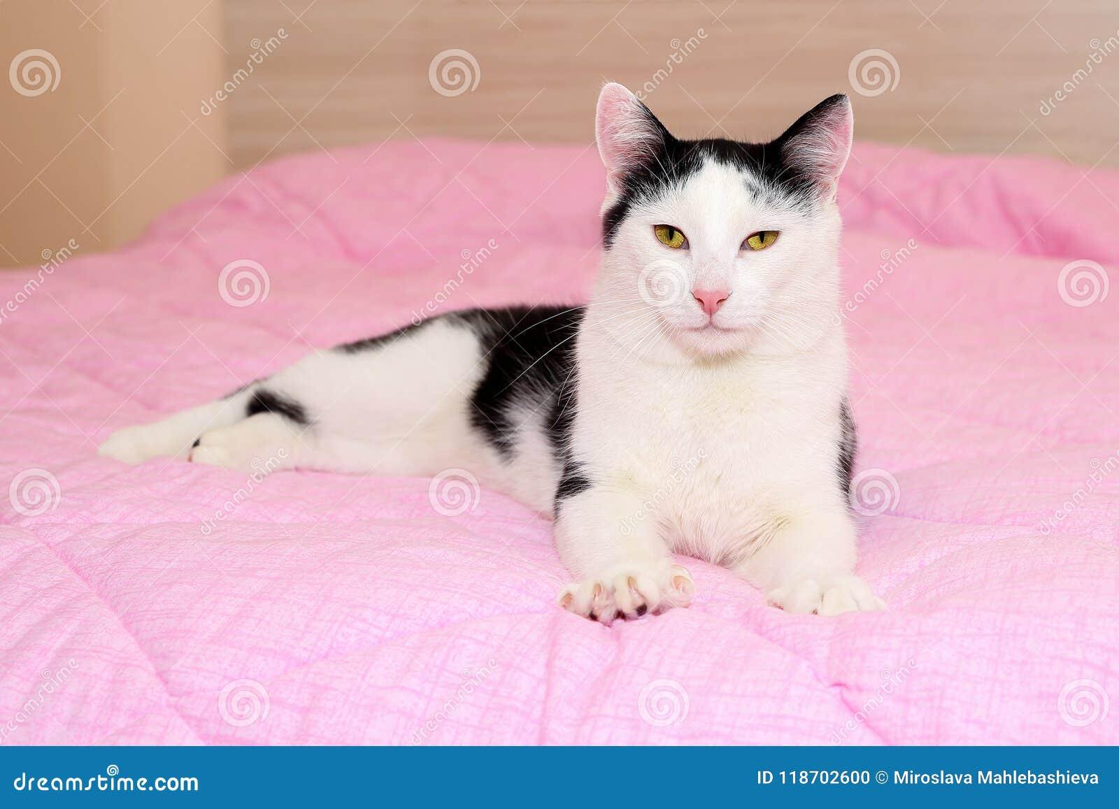 Gatto In Bianco E Nero Domestico Con I Bei Occhi Di Giallo Ed Il