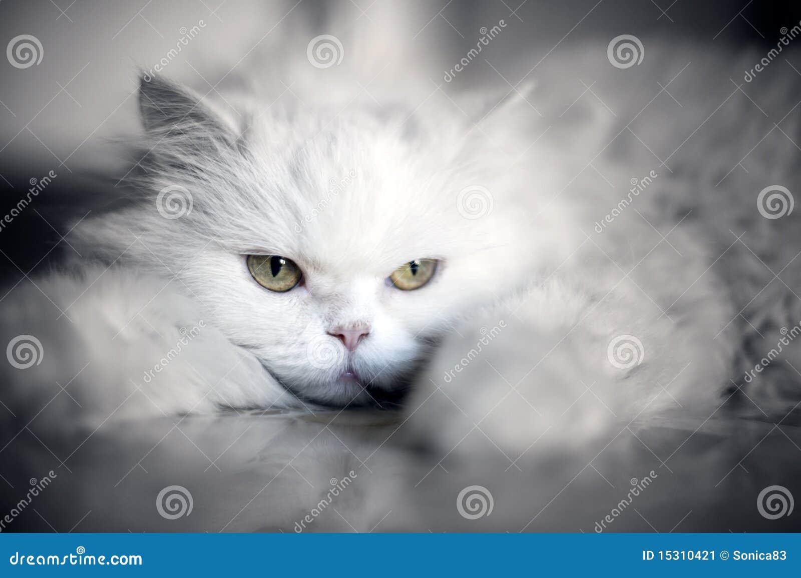 Gatto bianco elegante