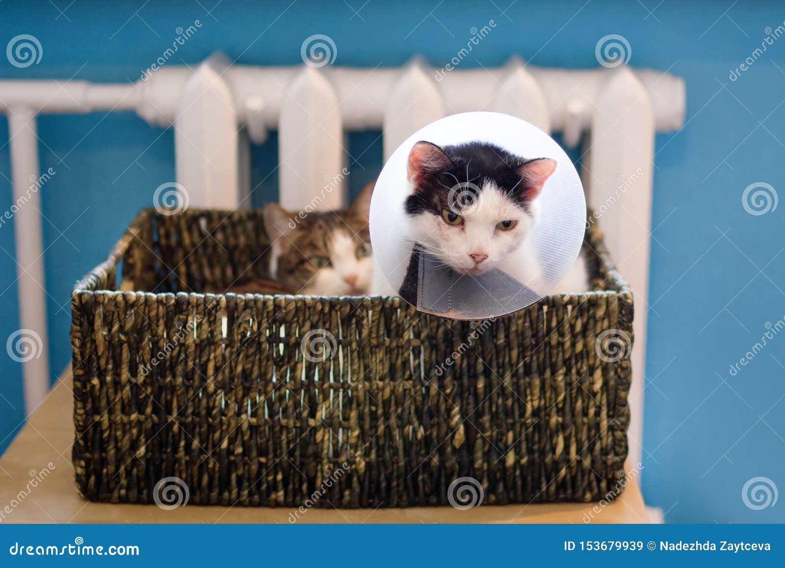 Gatto bianco Nero con il collare medico di plastica e gatto di soriano bianco che si siede nel letto del gatto vicino al radiator